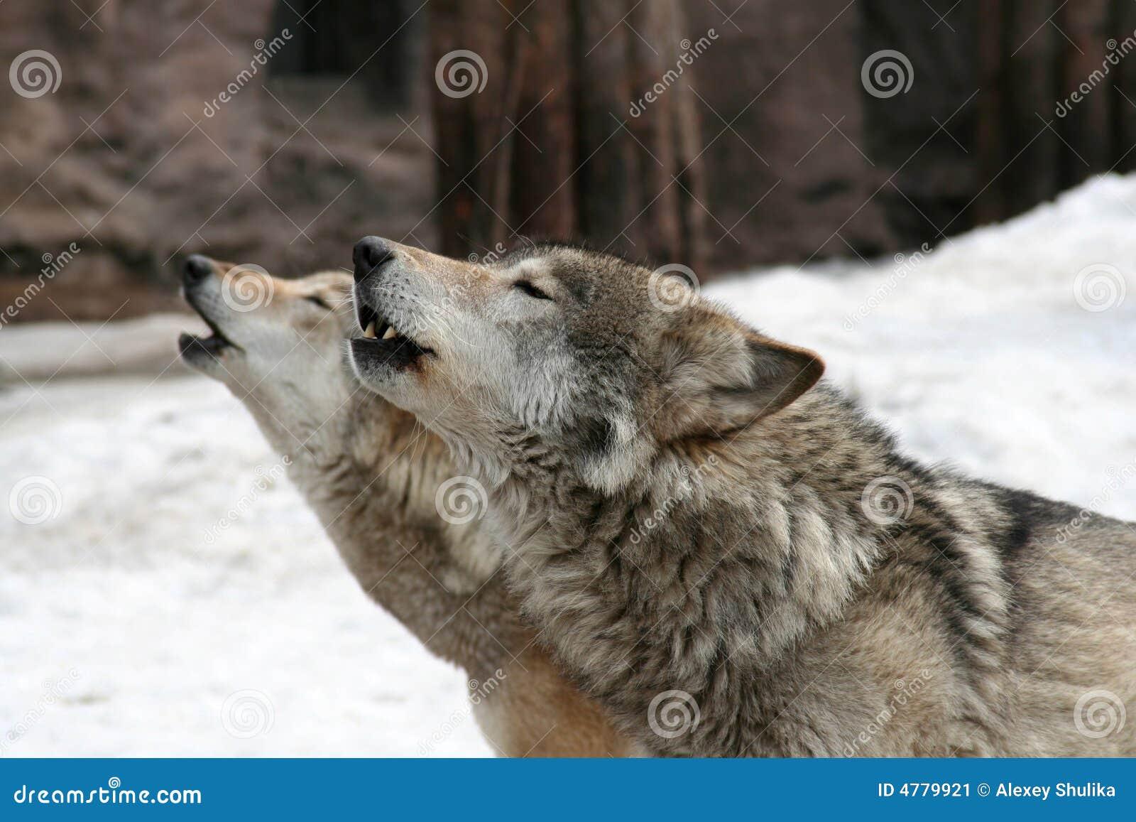 Aullido de los lobos