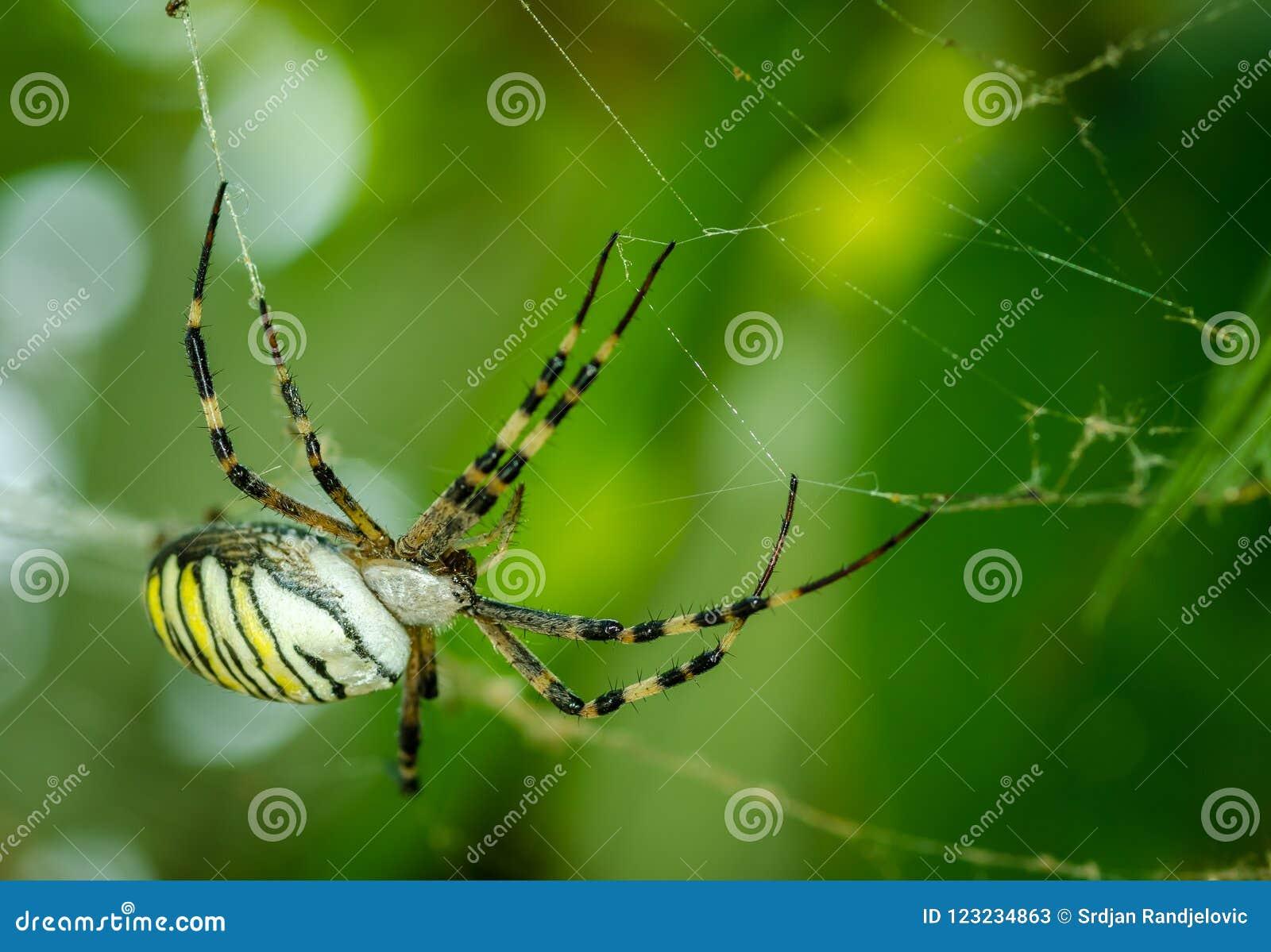 Aurantia för Argiope för gemensam havre för svart och för guling fet eller för trädgårds- spindel på hans rengöringsduk som vänta