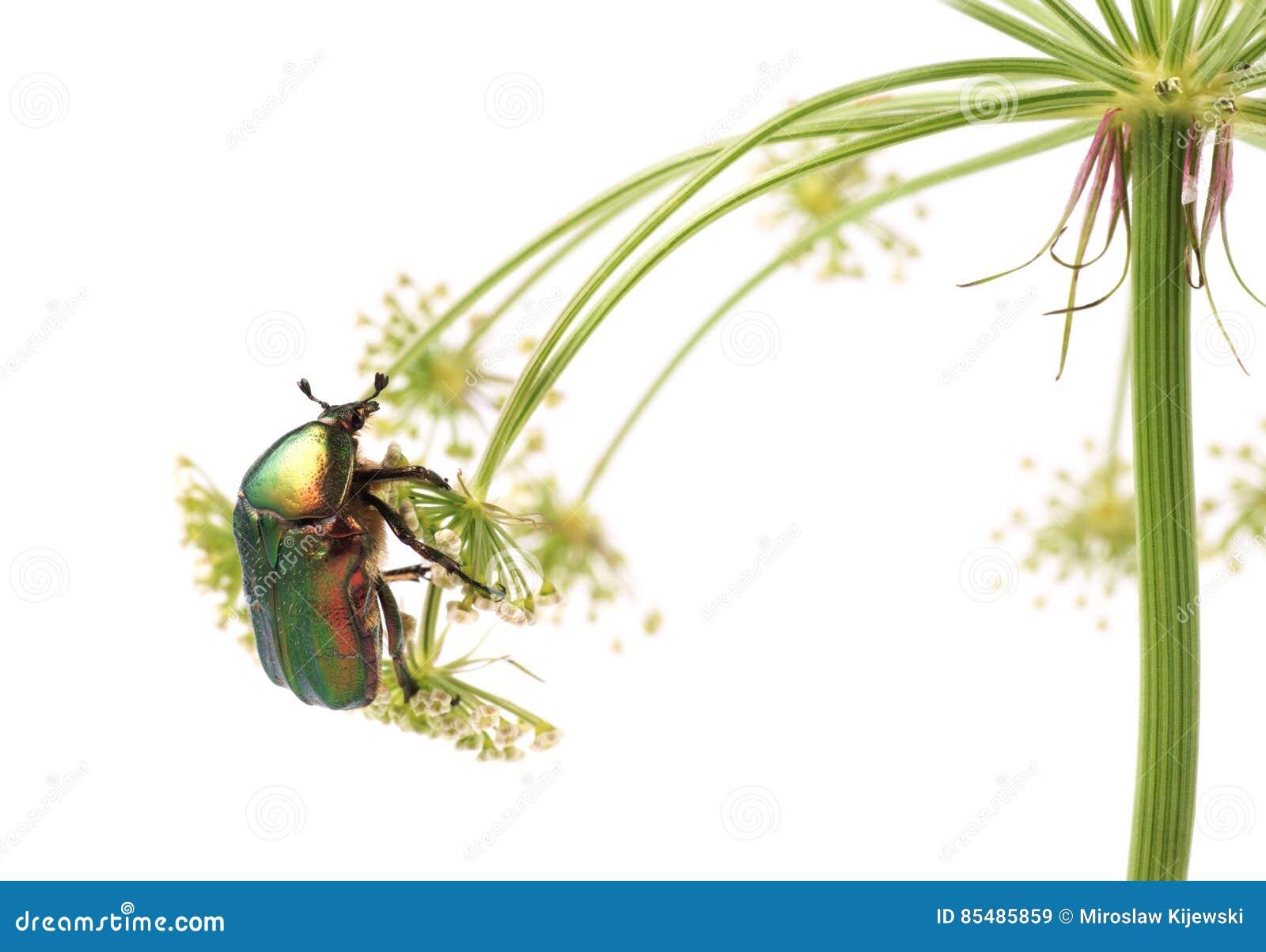 aurata de cetonia de scarabée de rose, scarabée sur des fleurs des