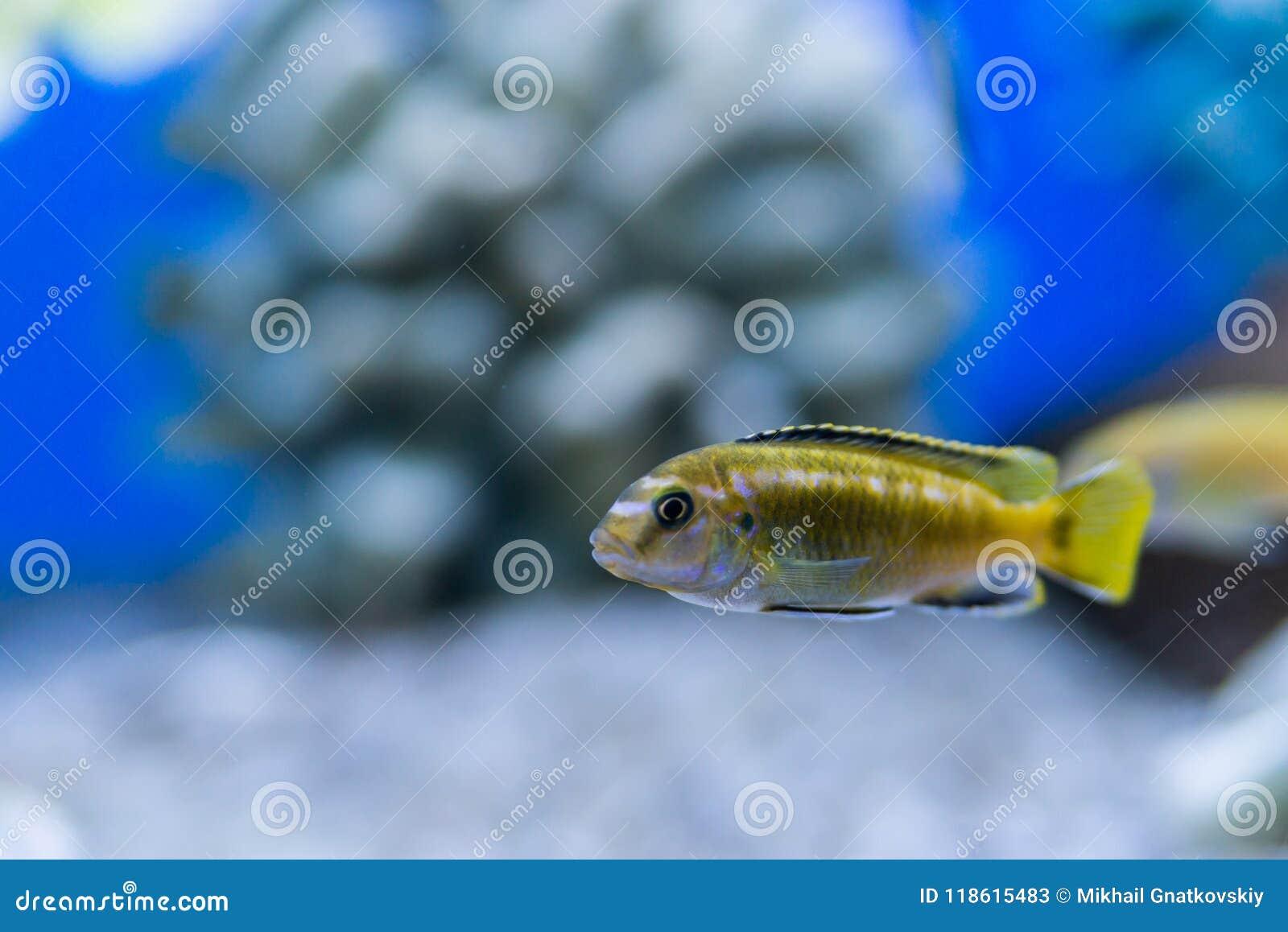 Auratus Cichlid Melanochromis Auratus Golden Mbuna Aquarium Fish