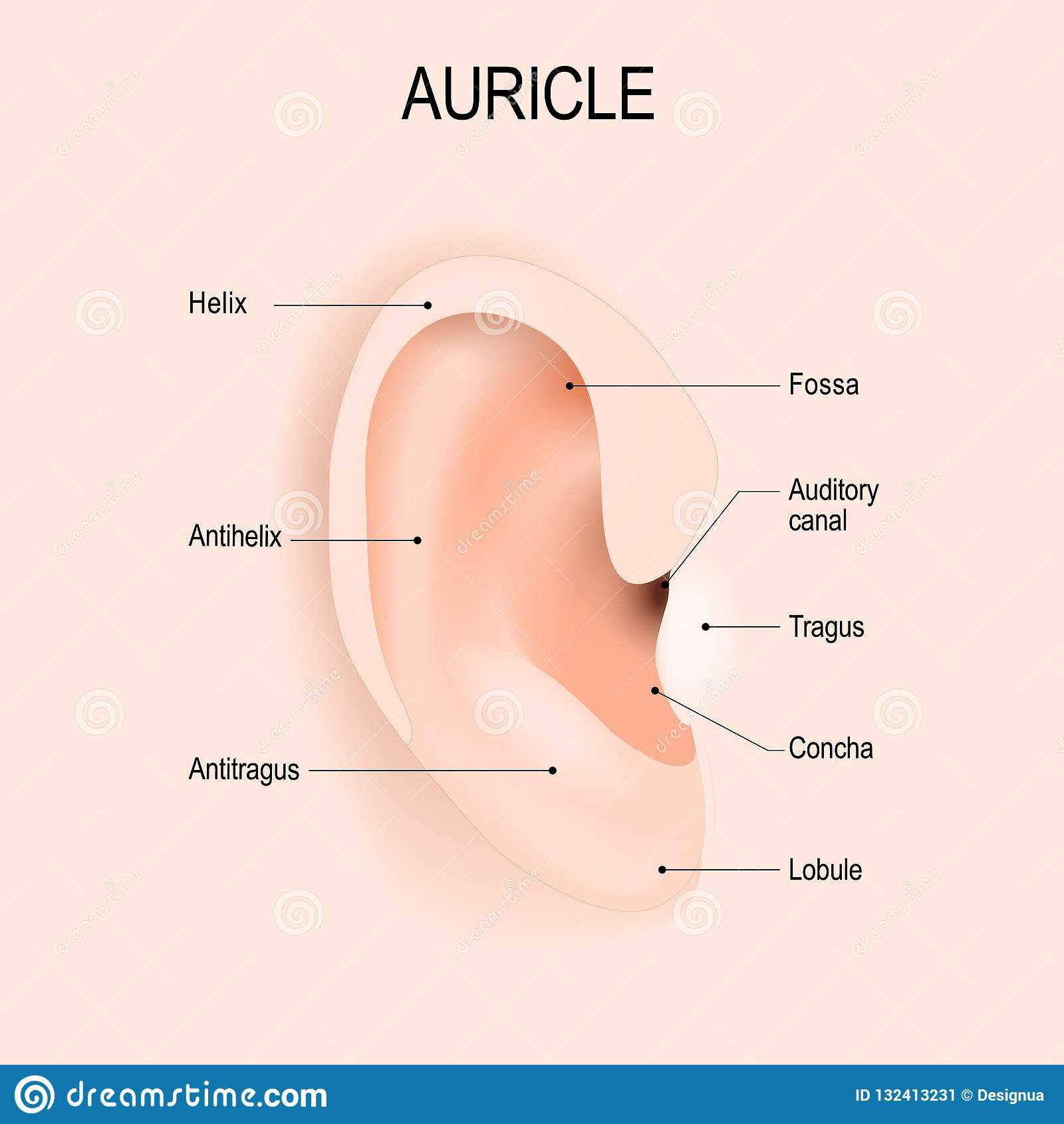 f82d865db Anatomy of the human ear. piercing. Vector diagram for educational,  biological, medical and science use