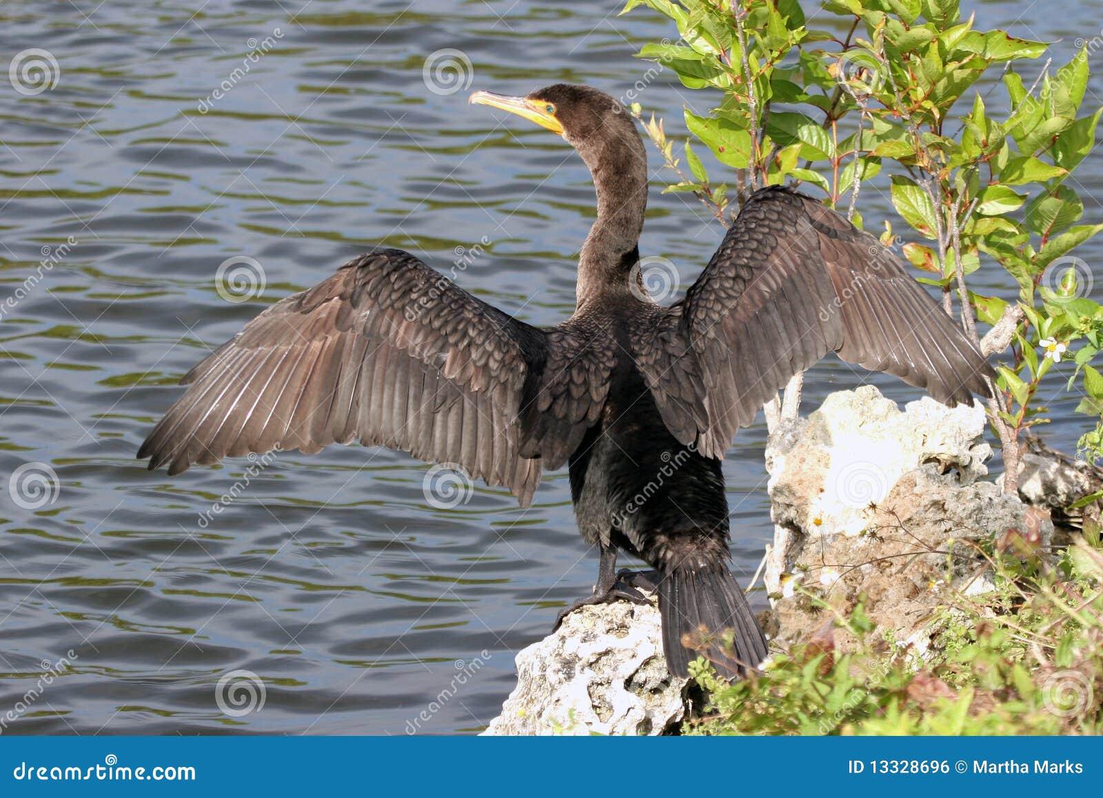 Auritus kormoranu czubaty dwoisty phalacrocorax