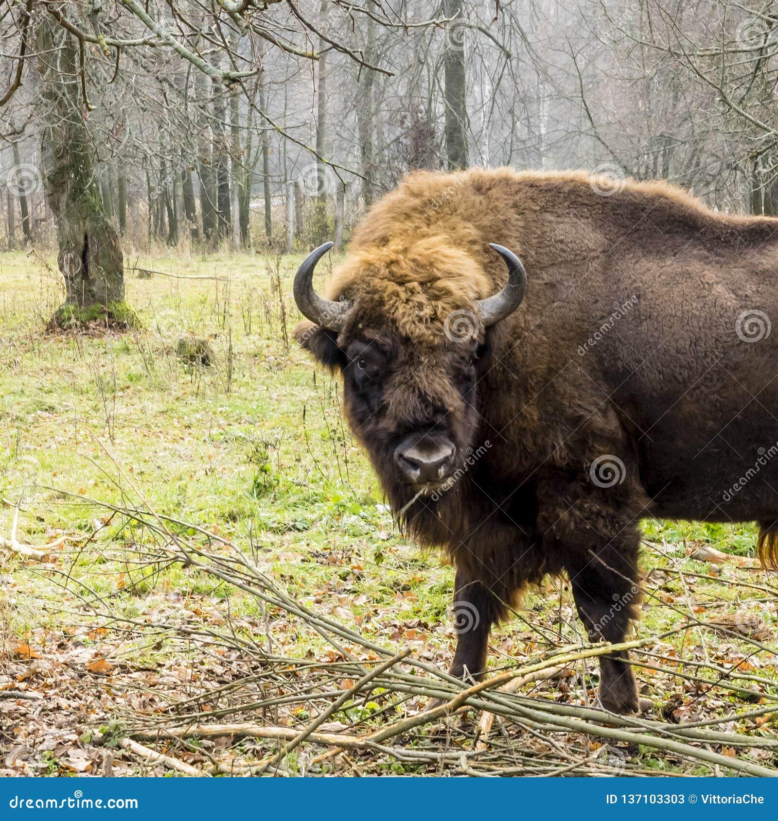 Aurochs στο δάσος ο ευρωπαϊκός bison bonasus βισώνων, επίσης γνωστός ως wisent ή ευρωπαϊκός ξύλινος βίσωνας, Ρωσία