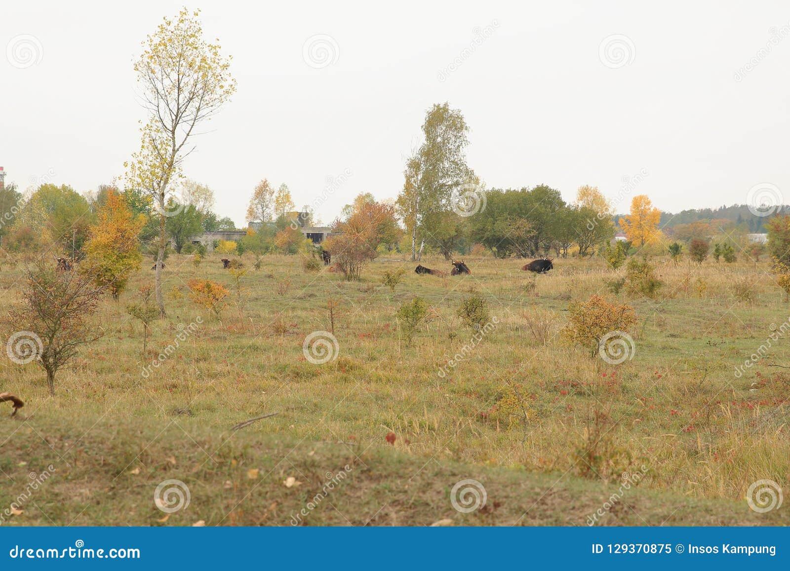 Aurochs in Milovice Nature Reserve, Czech Republic