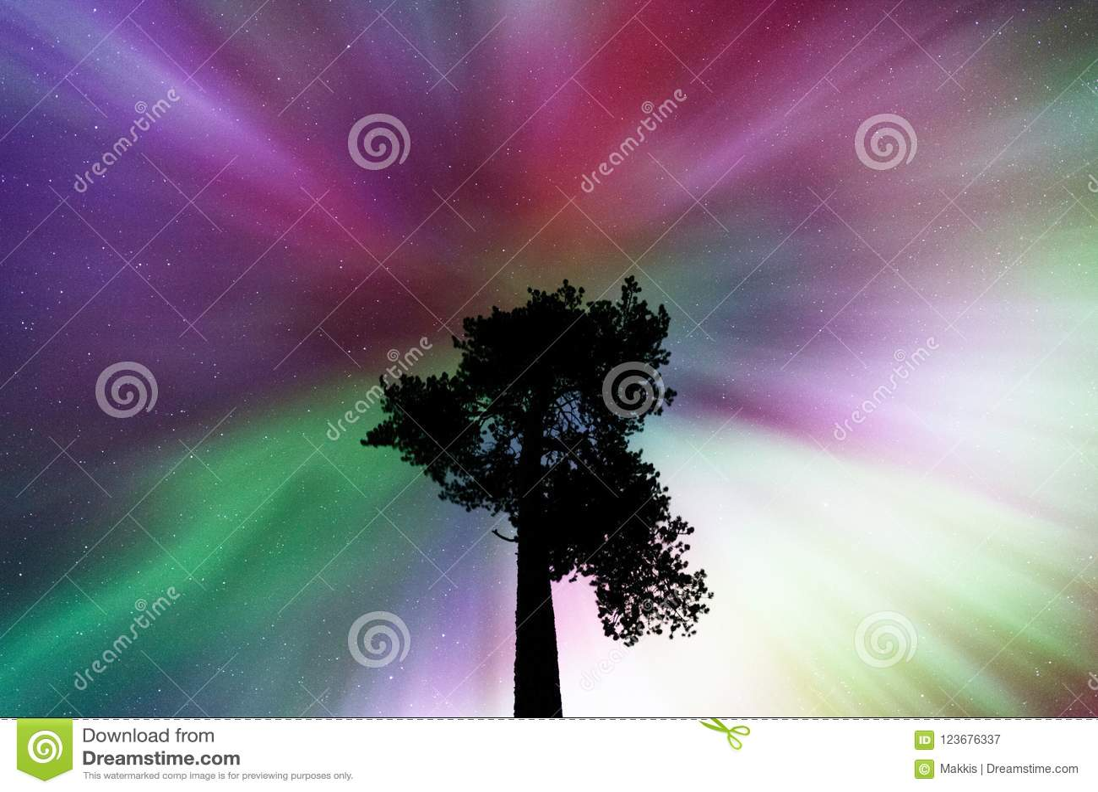 Aurora borealiscorona boven oude Scots pijnboom