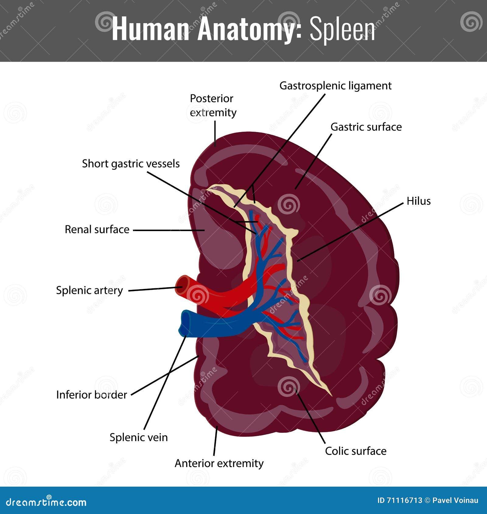 Ausgezeichnet Hundemilz Anatomie Galerie - Menschliche Anatomie ...