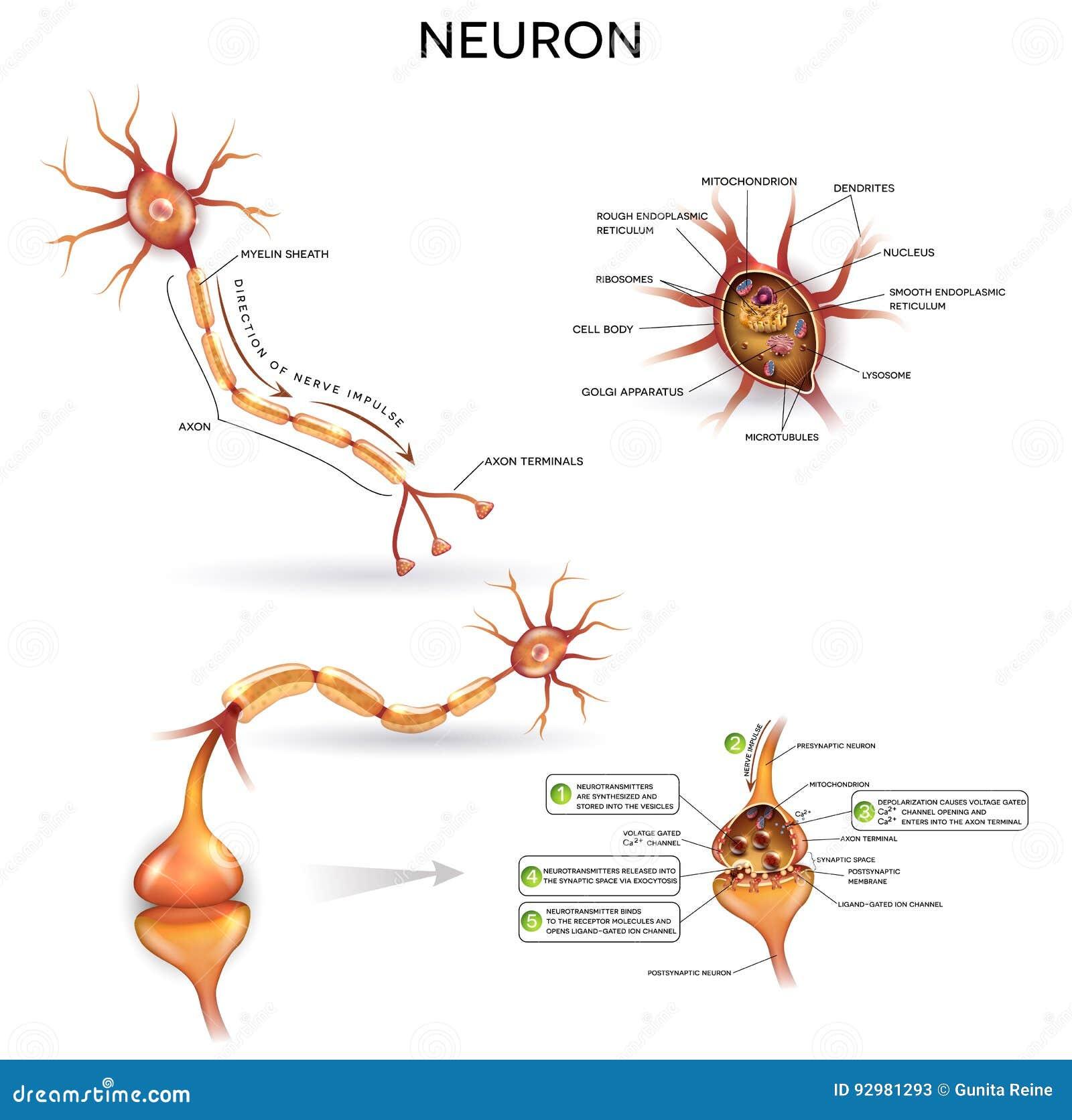 Ausführliche Anatomie Des Neurons Vektor Abbildung - Illustration ...