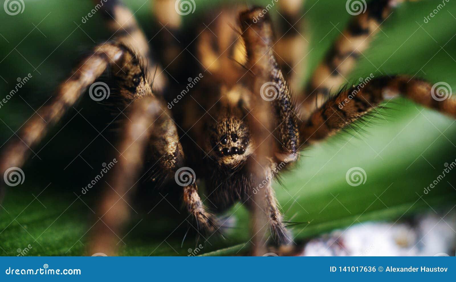Ausführliche Spinne mustert Makro