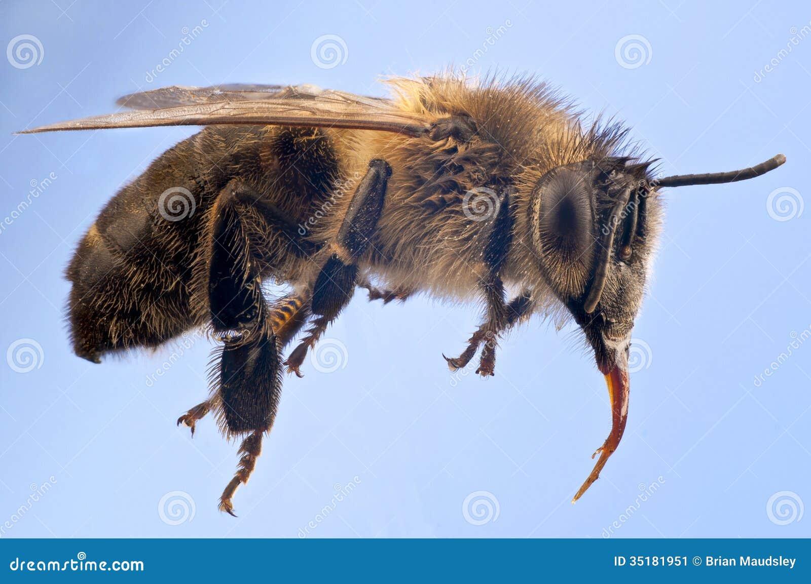 Ausführliches Makro Einer Honigbiene Stockbild - Bild von europäisch ...