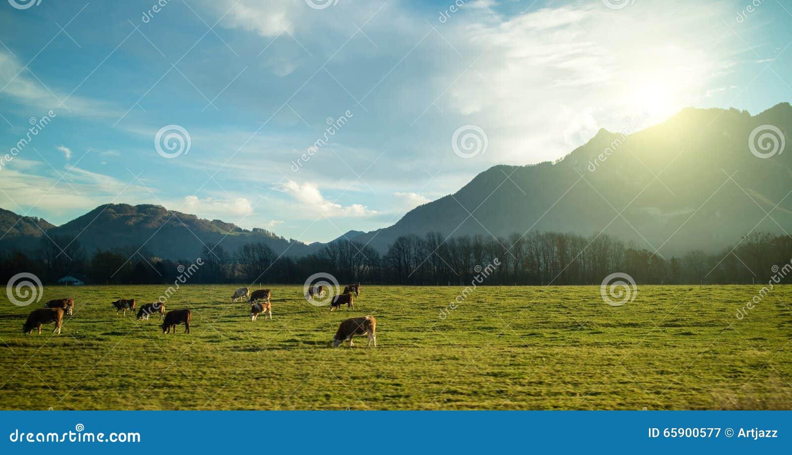 Ausgezeichnete alpine Landschaft mit den Kühen, die auf der Wiese bei Sonnenaufgang weiden lassen