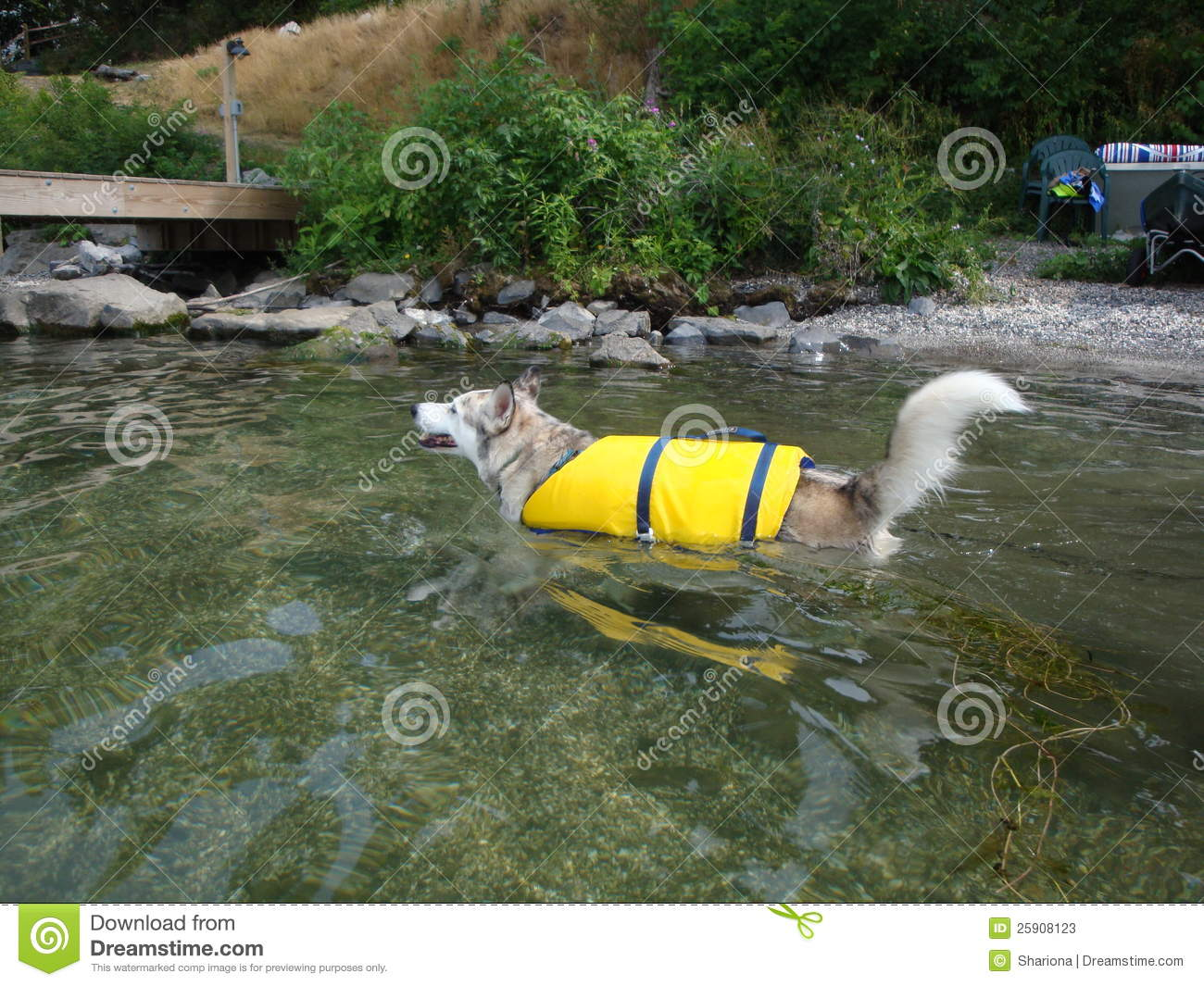 Ausky Dog Swimming With Life