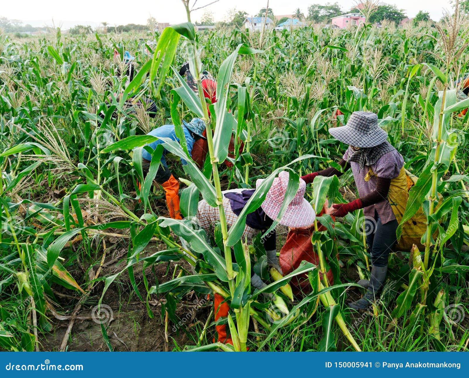 Ausländische Arbeiter birmanisches Myanmar oder Birma stellen an, um Zuckermais zu ernten