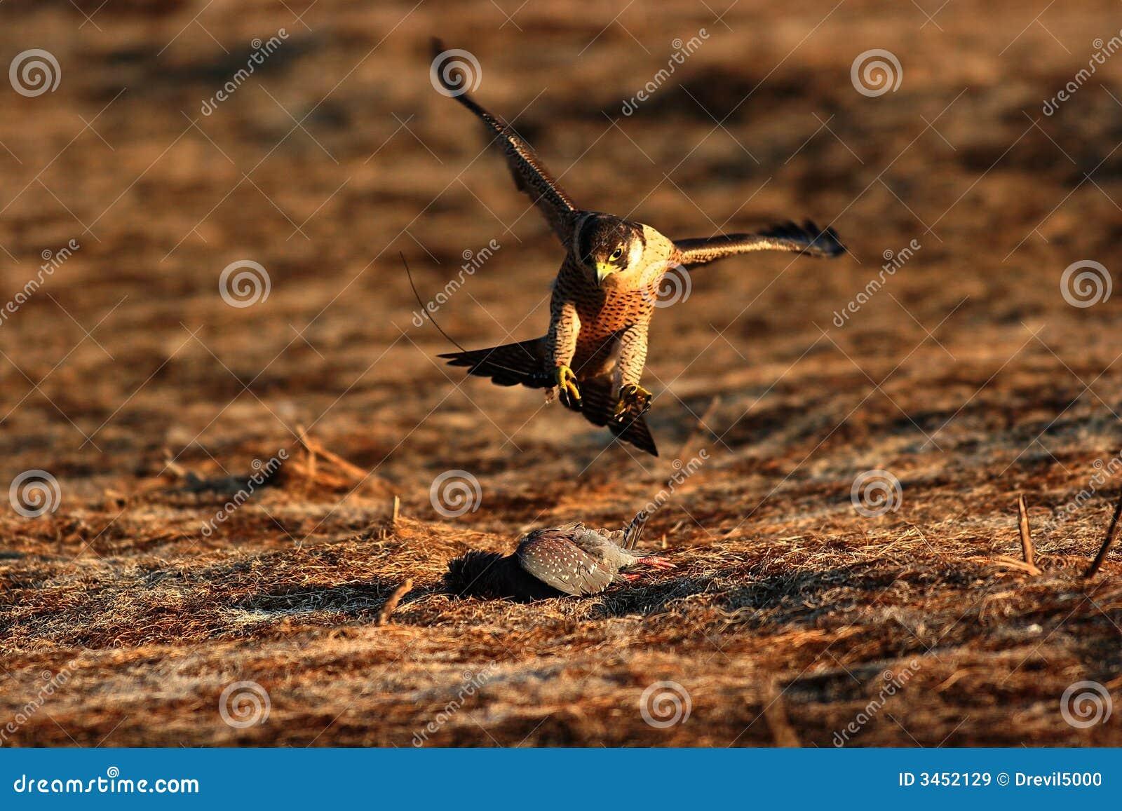 Ausländischer Falke auf Opfer