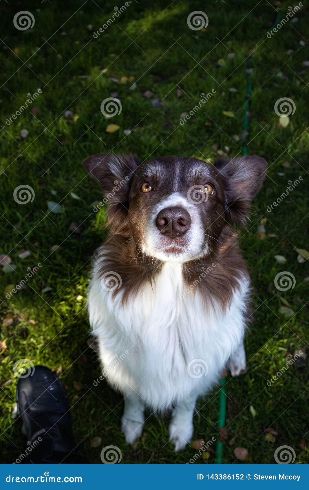 Aussie Australian Shepherd Border Collie väntar tålmodigt på fest