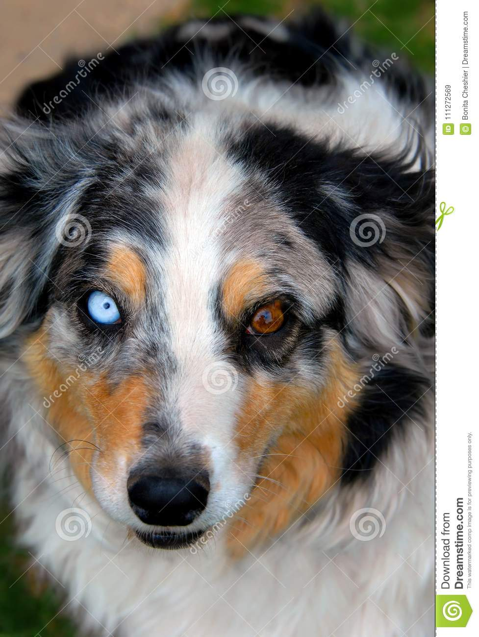 Aussie With Blue And Brown Eyes Stock Image Image Of