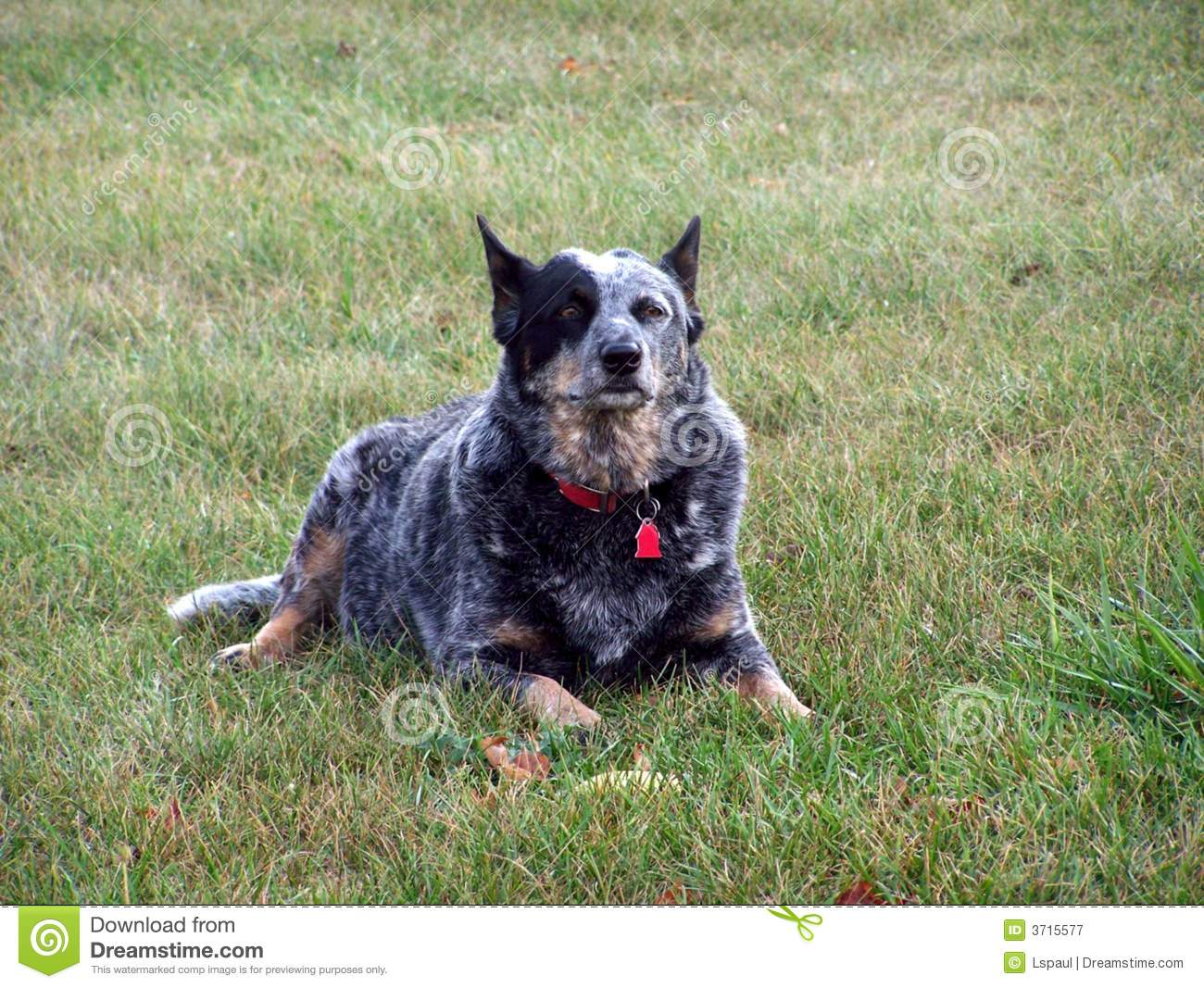 Aussie Blue Heeler Royalty Free Stock Photography - Image: 3715577