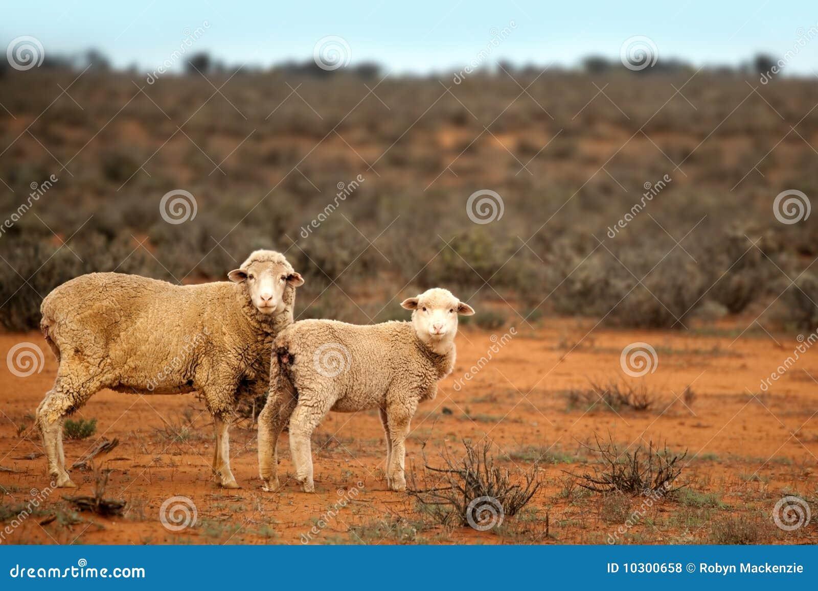 Aussie Sheep