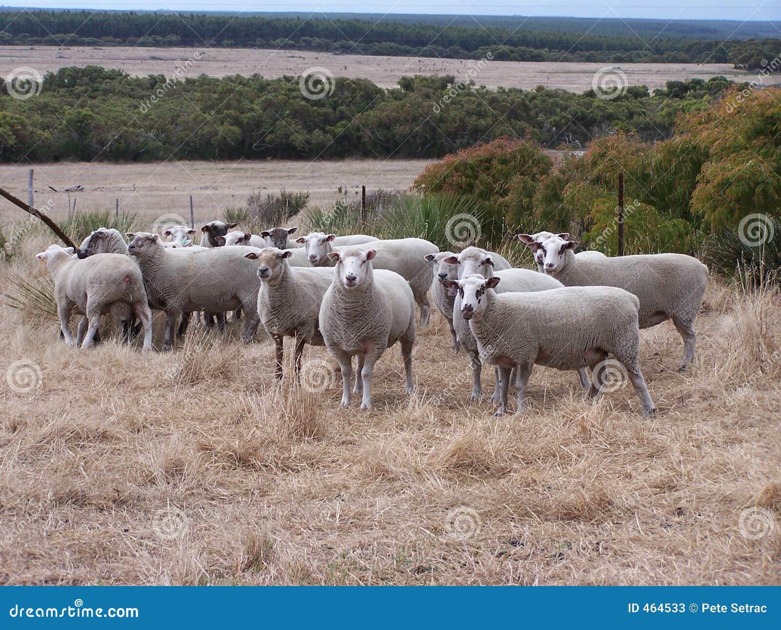 Download Aussie Sheep stock image. Image of grass, sheep, paddock - 464533