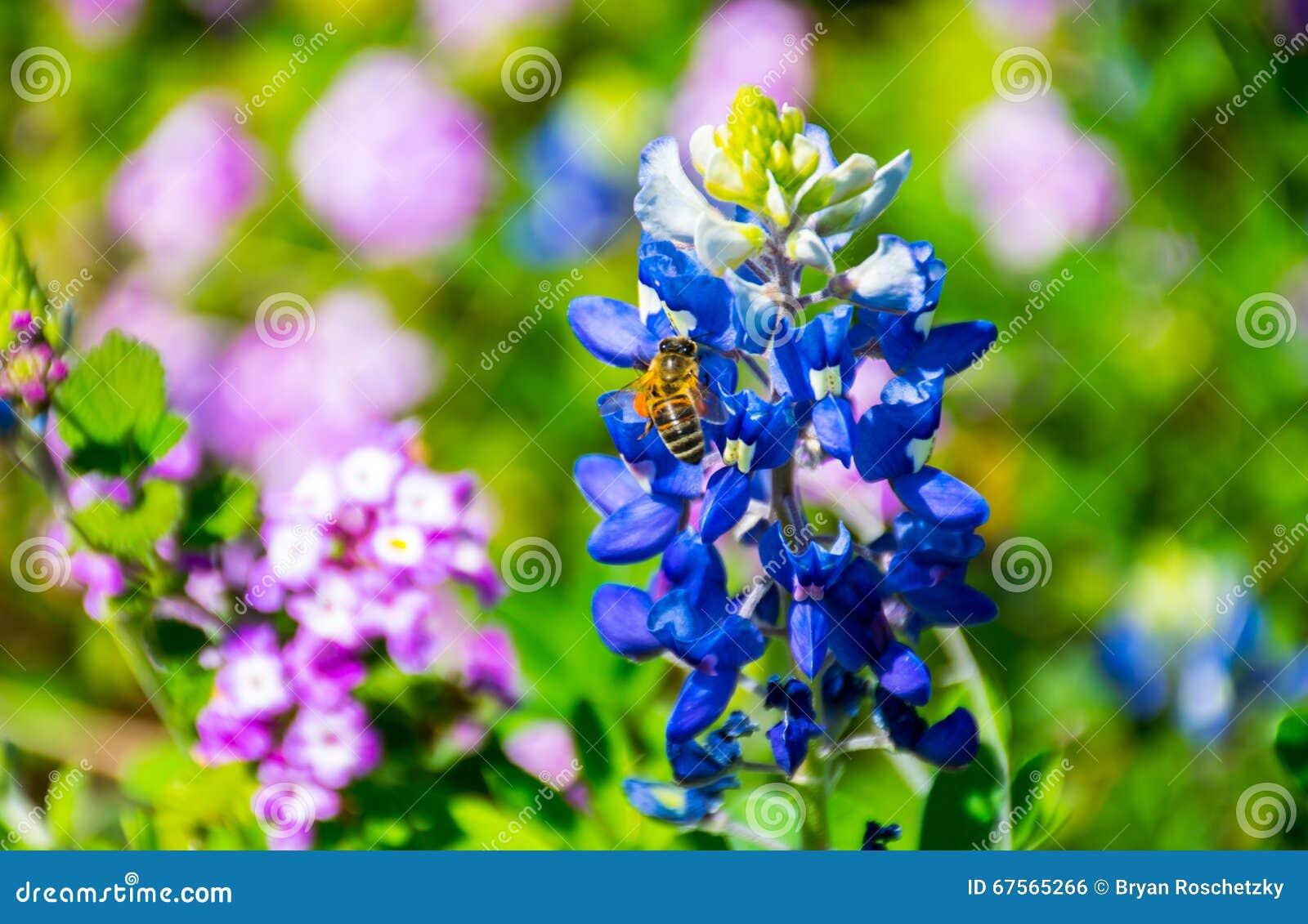 Austin bluebonnet met honingbij die stuifmeel op de heldere dag van de de lentetijd in centraal Texas verzamelen