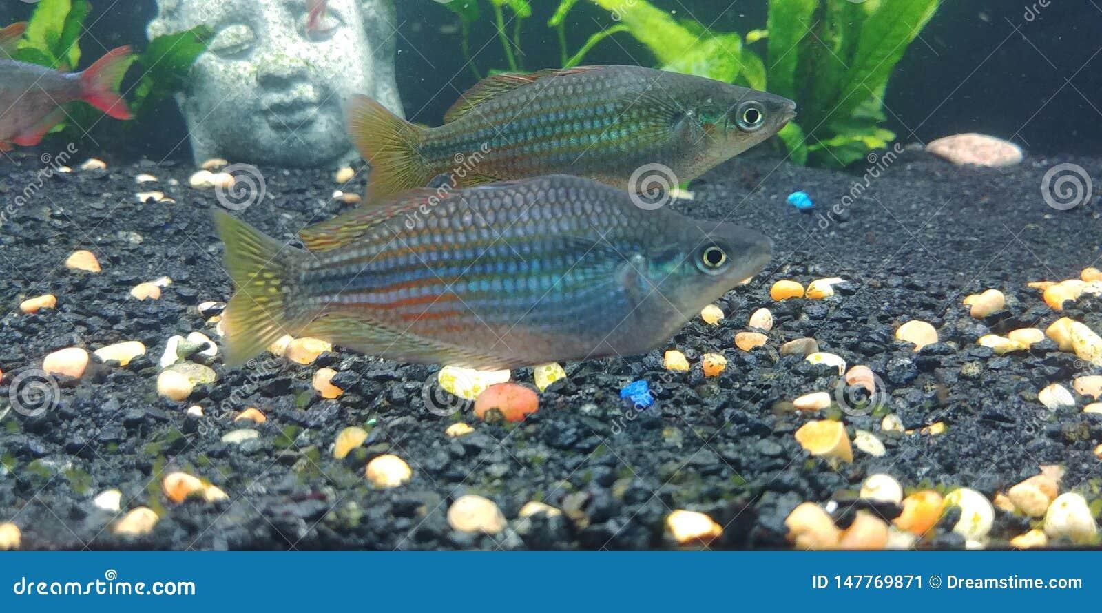 Austrailian Rainbowfish