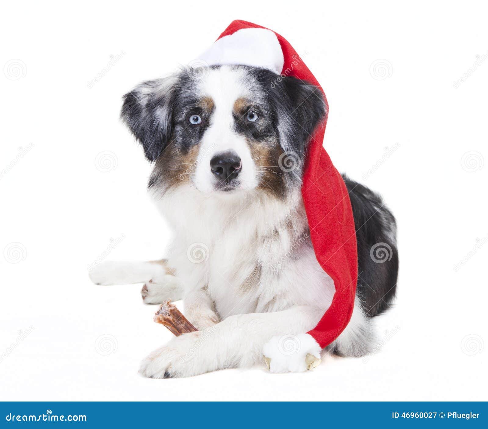 Austrailian-Schäfer-Strumpfkappe Stockbild - Bild von hunde ...