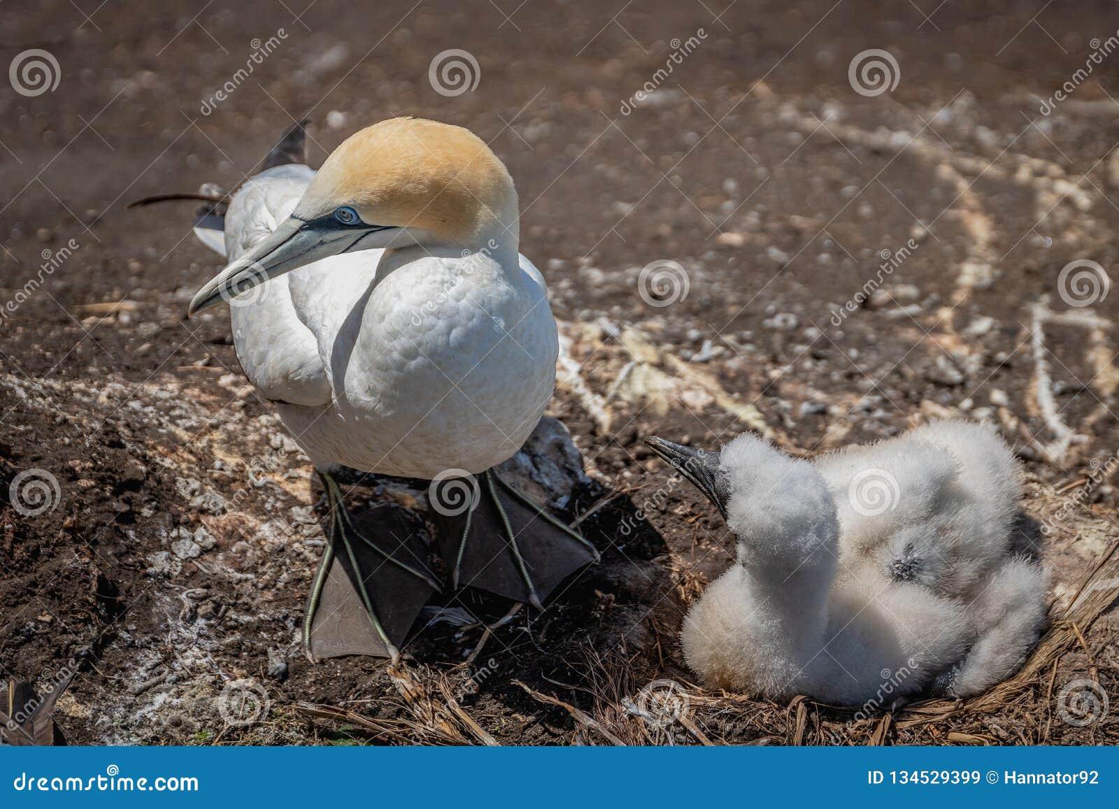 Australasian gannet nesting