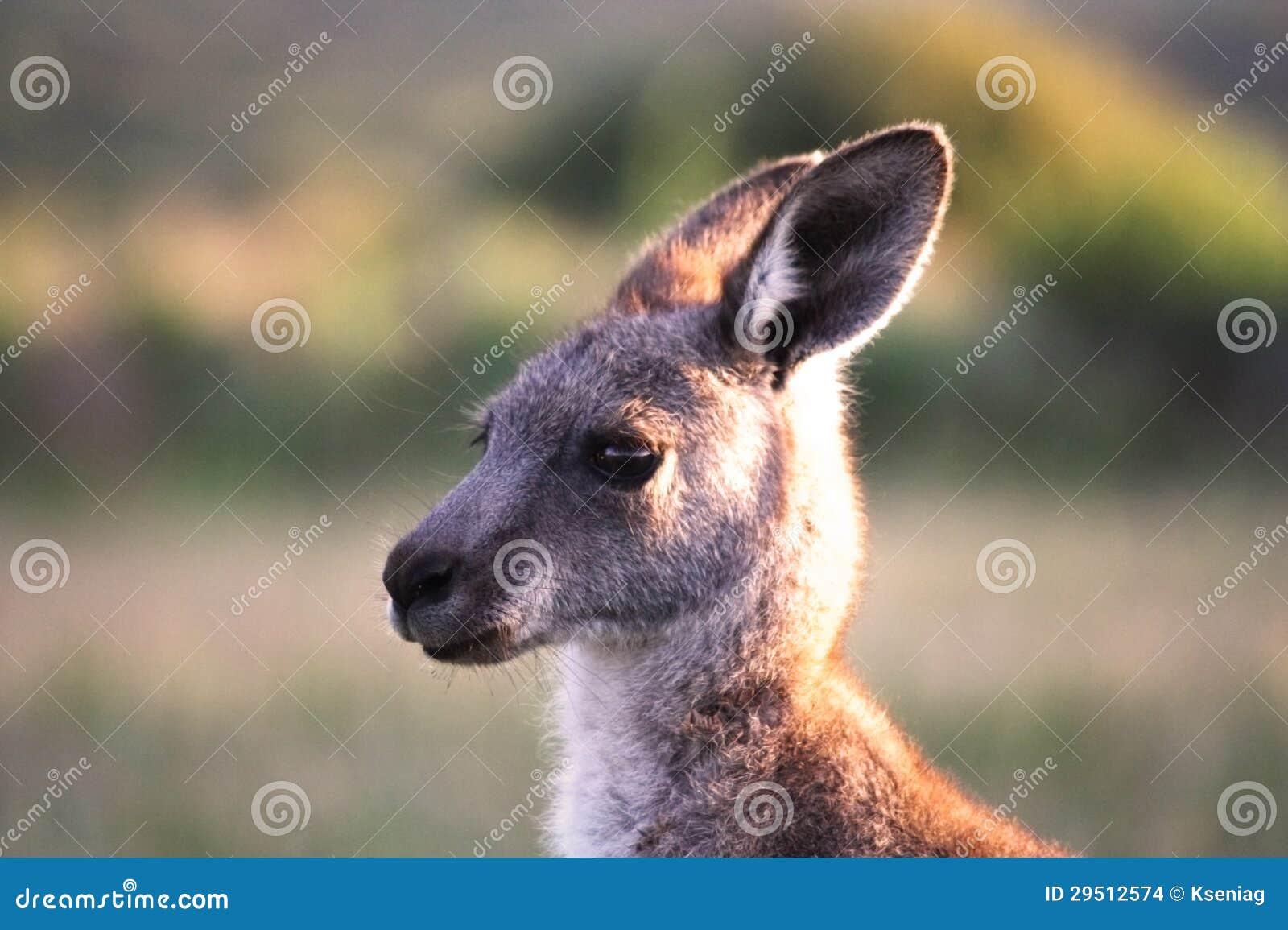 Australië. Het voorgebergte van Wilsons. Kangoeroe