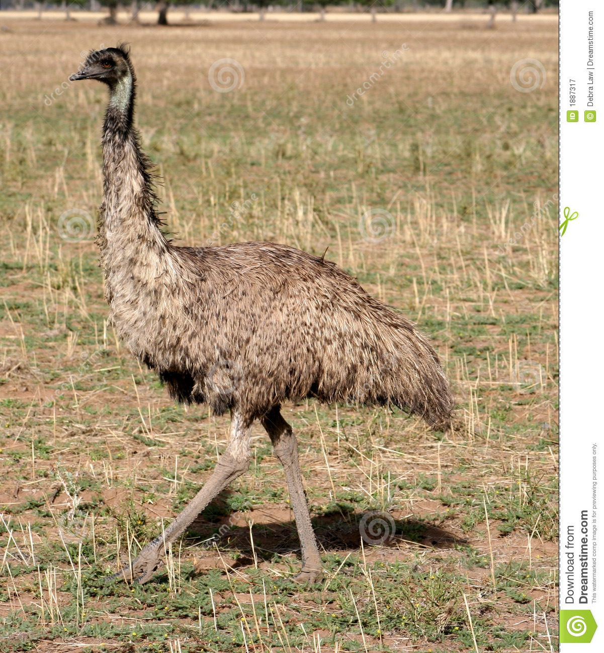 Australia Emu Solo View Royalty Free Stock Photography - Image ...