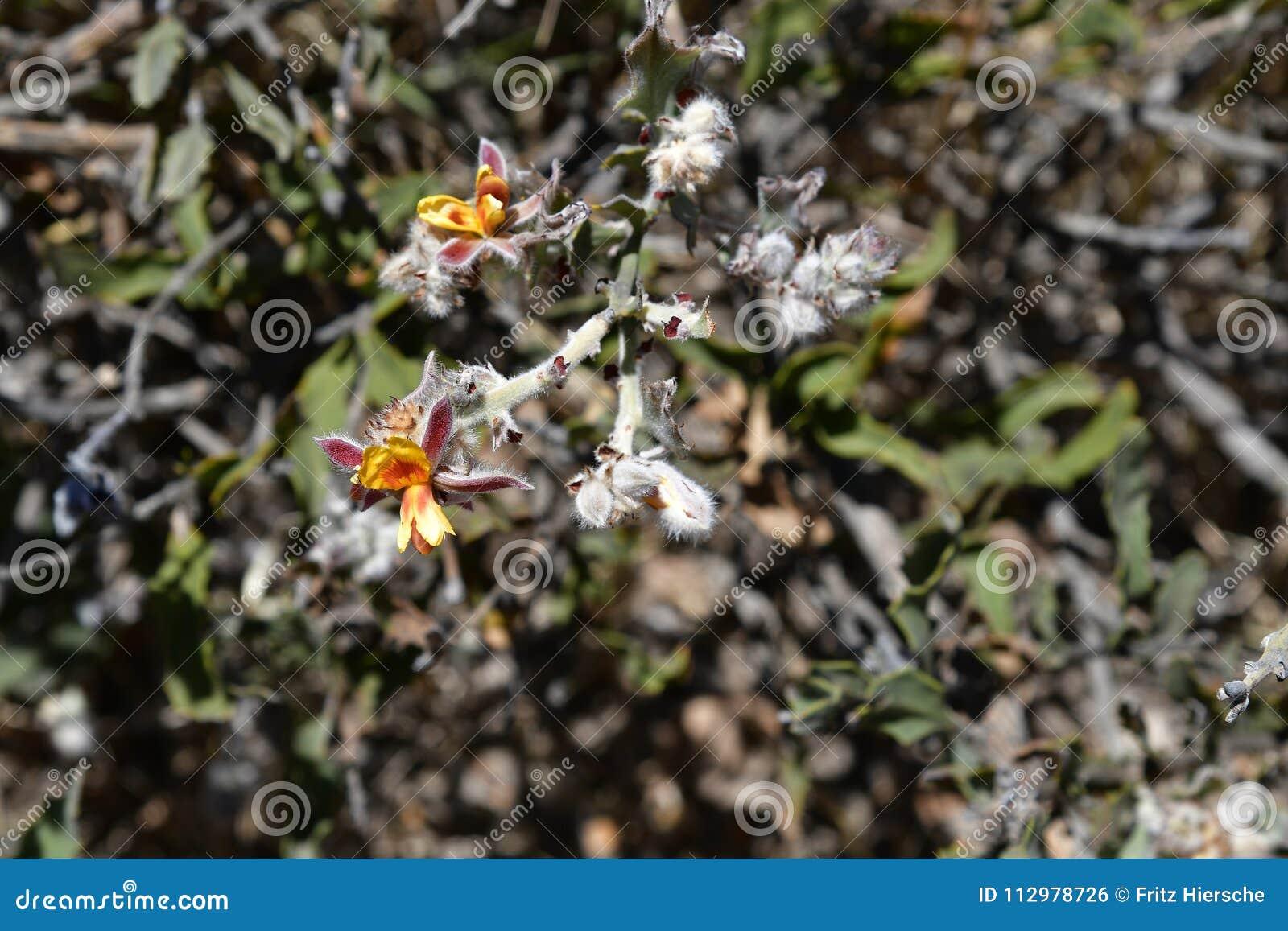 Australia, Botany, wildflower