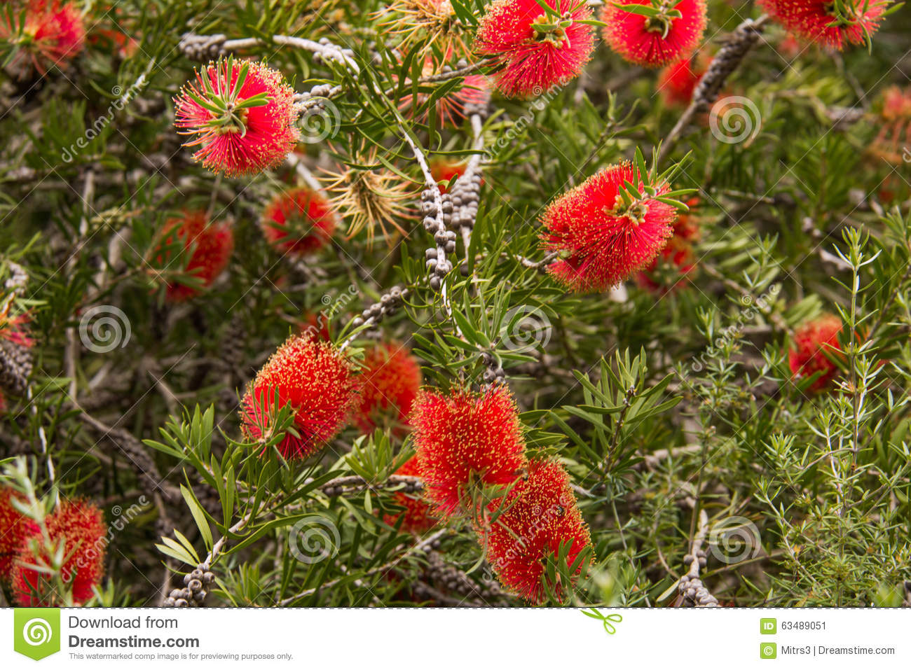 Australia s National Flower Stock Image