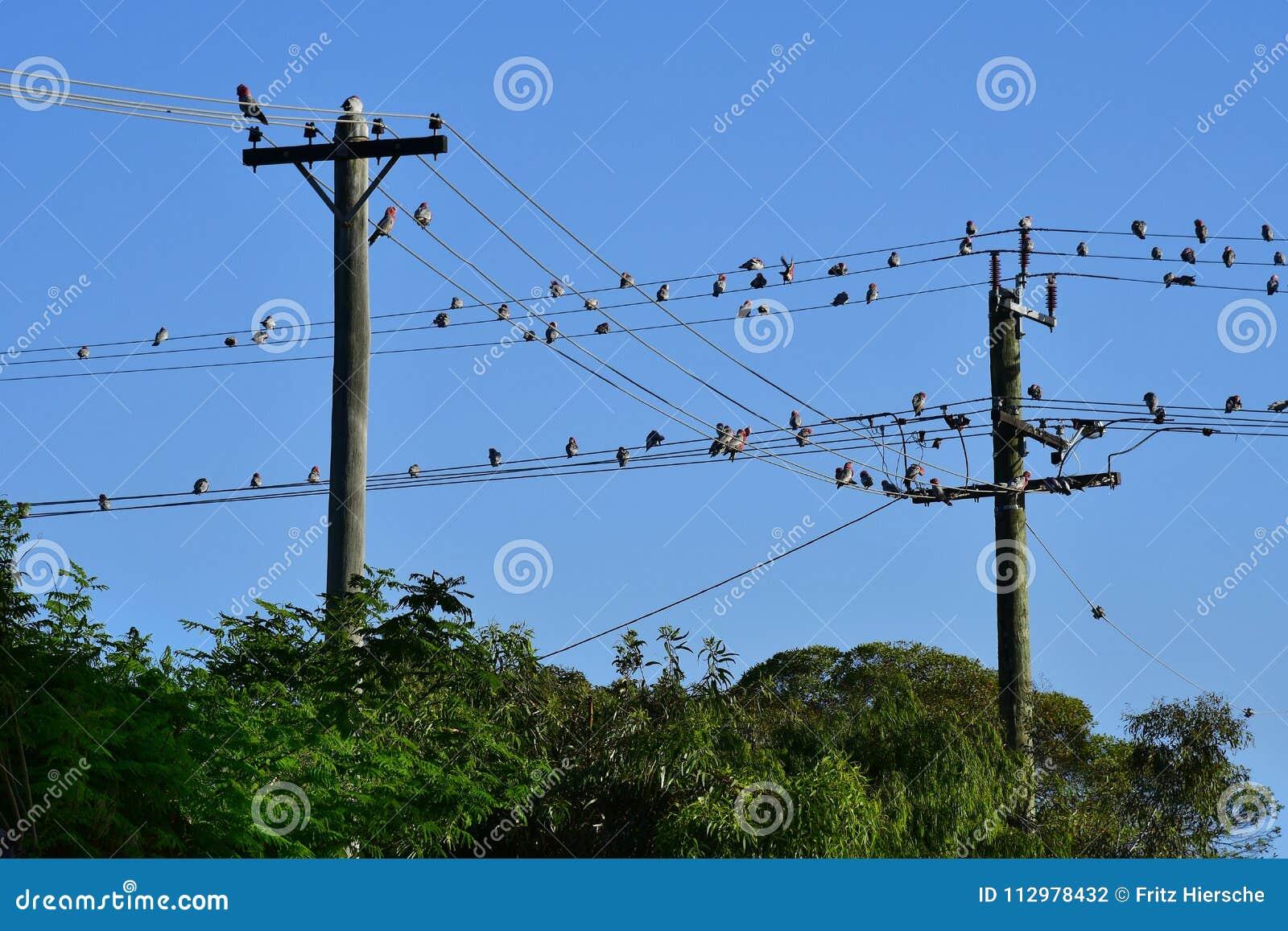 Australia, WA, Kalbarr, Birds on wire
