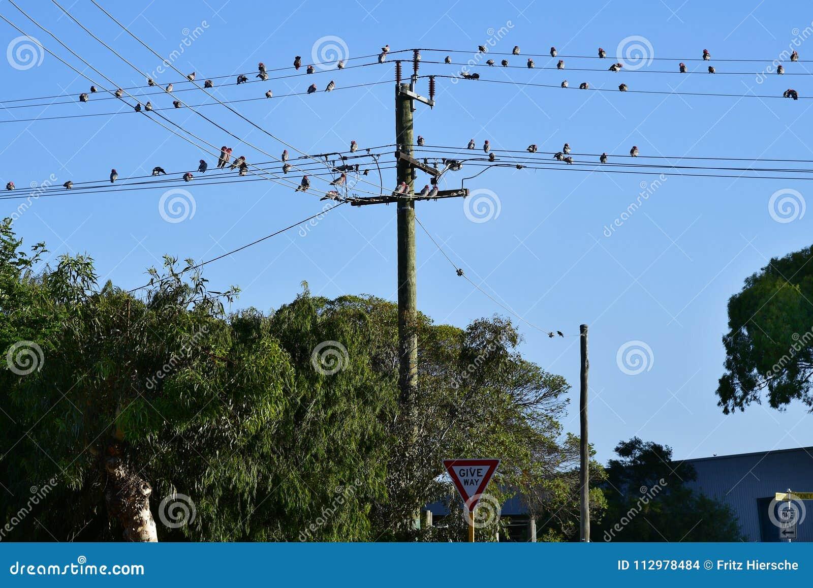 Australia, WA, Kalbarri , Birds