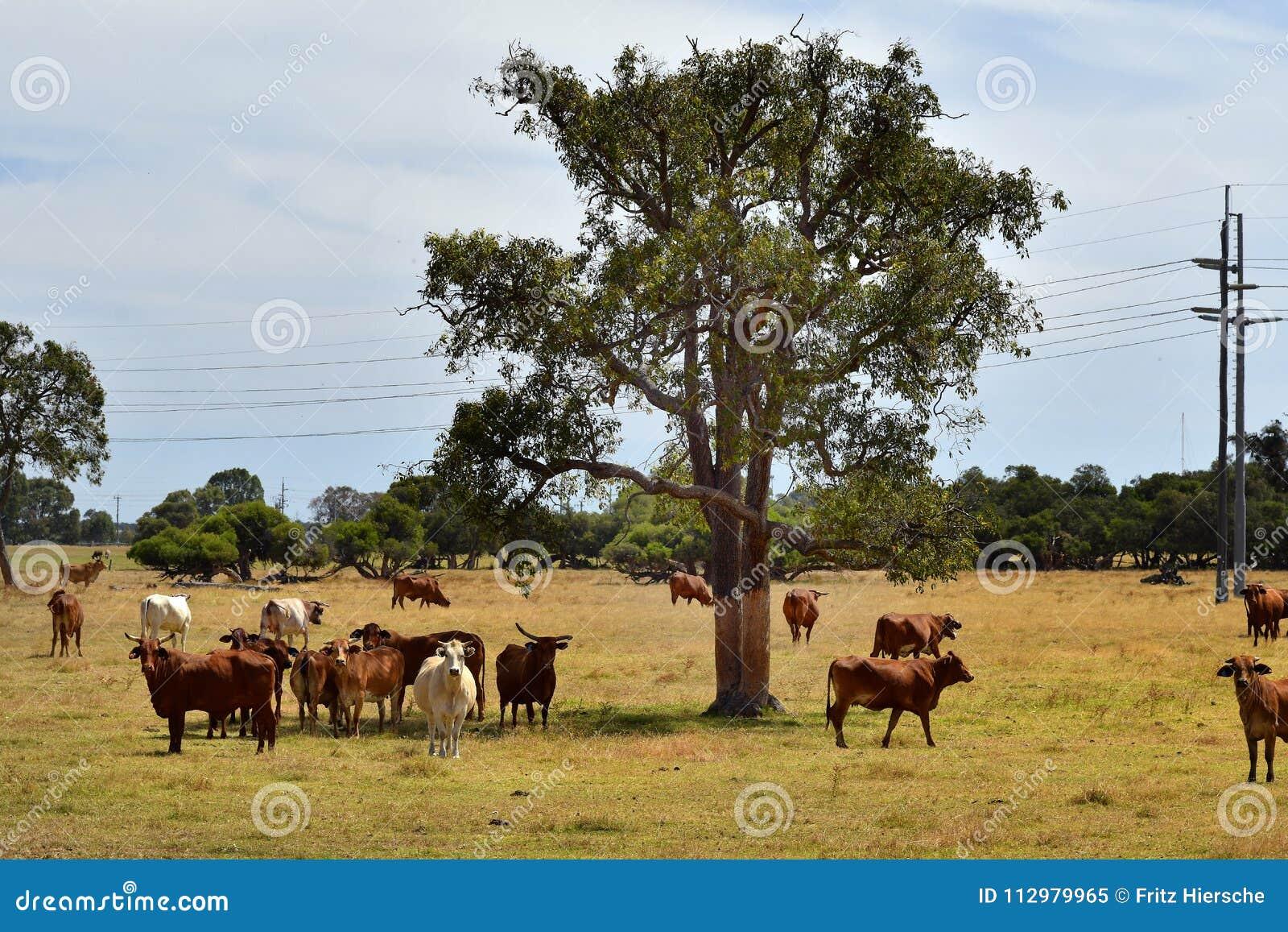 Australia, Western Australia, livestock