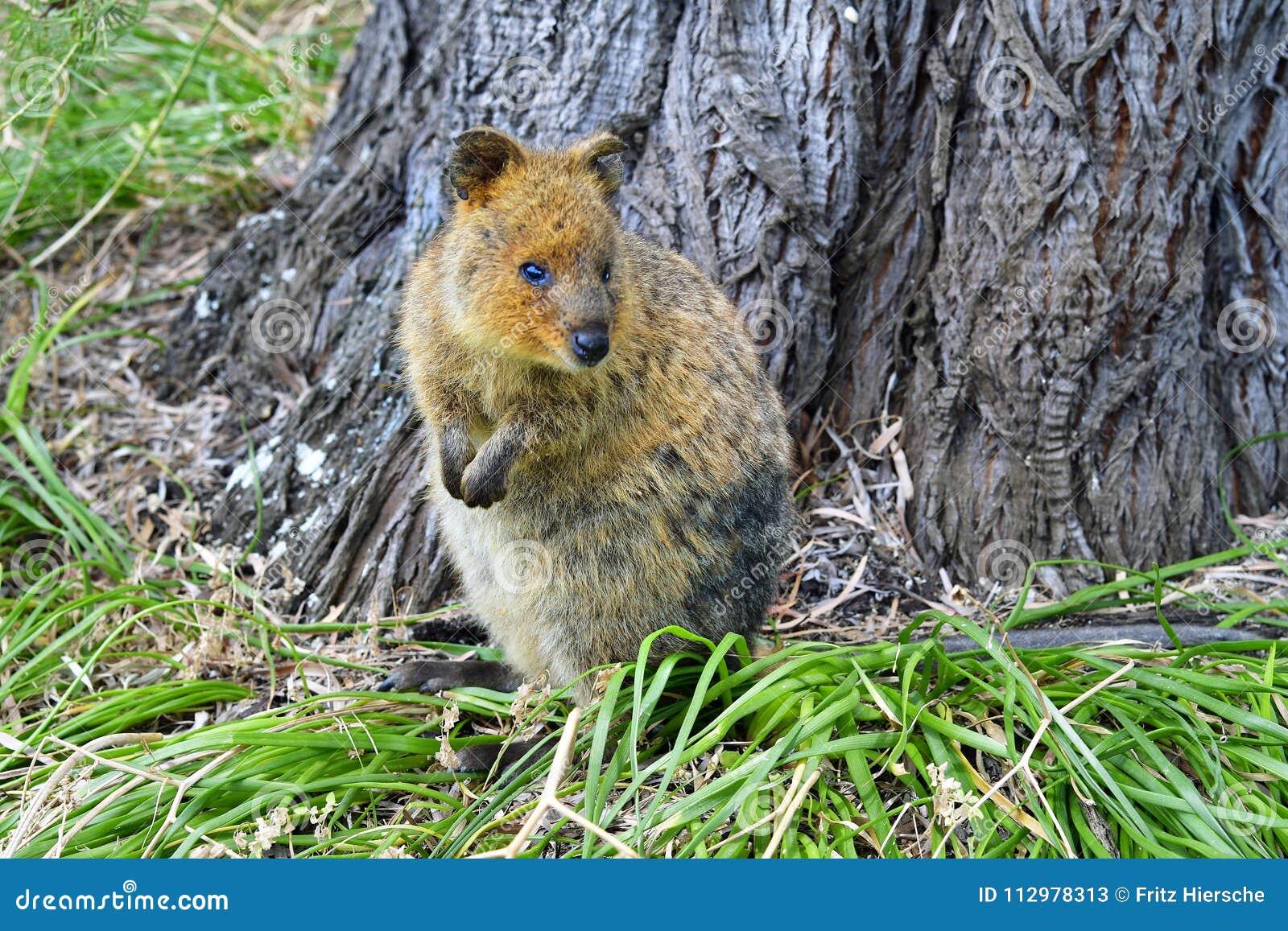 Australia, Zoology, Quokka