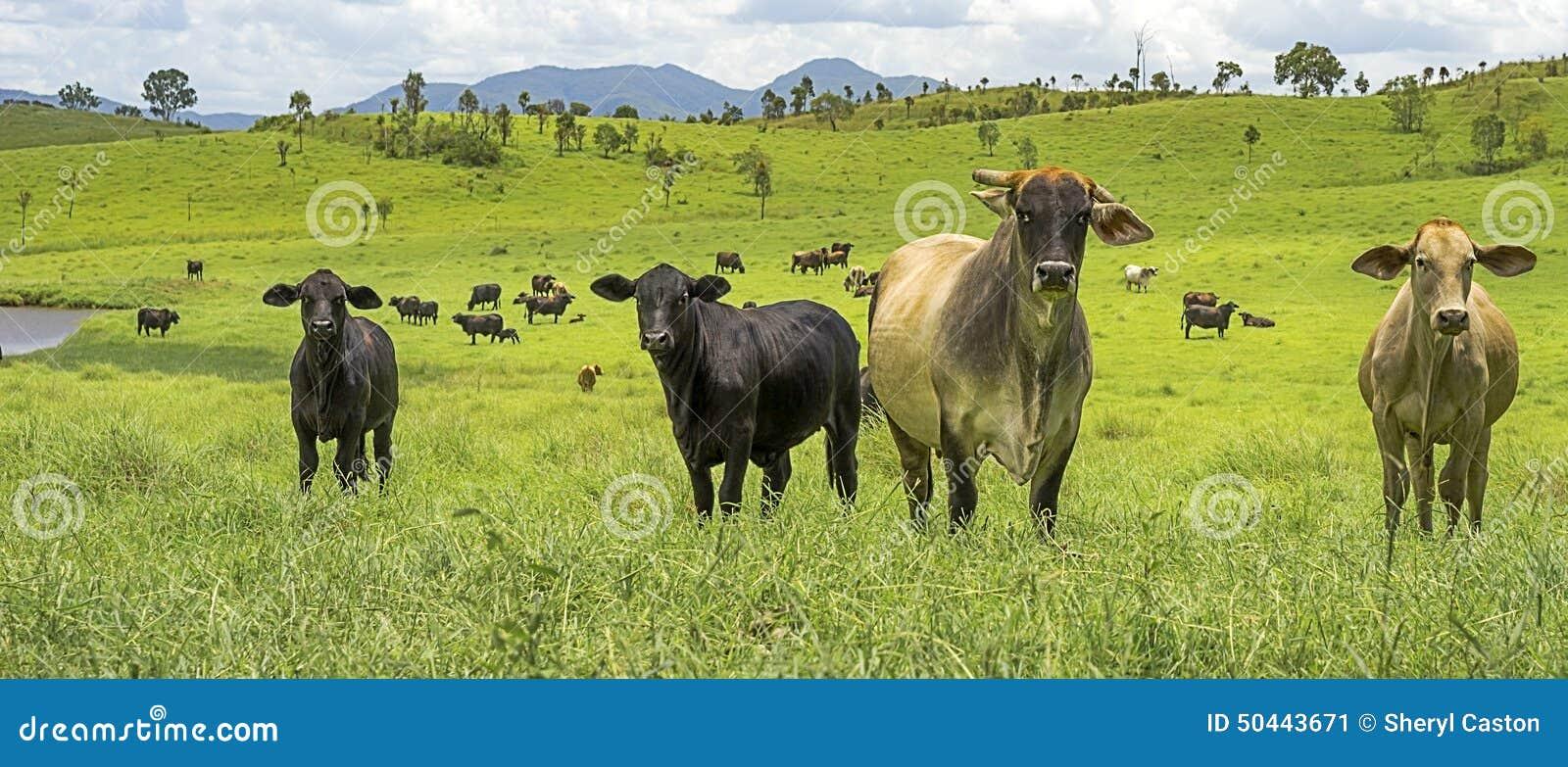 Nice Cattle Manager Resume Illustration - Administrative Officer ...