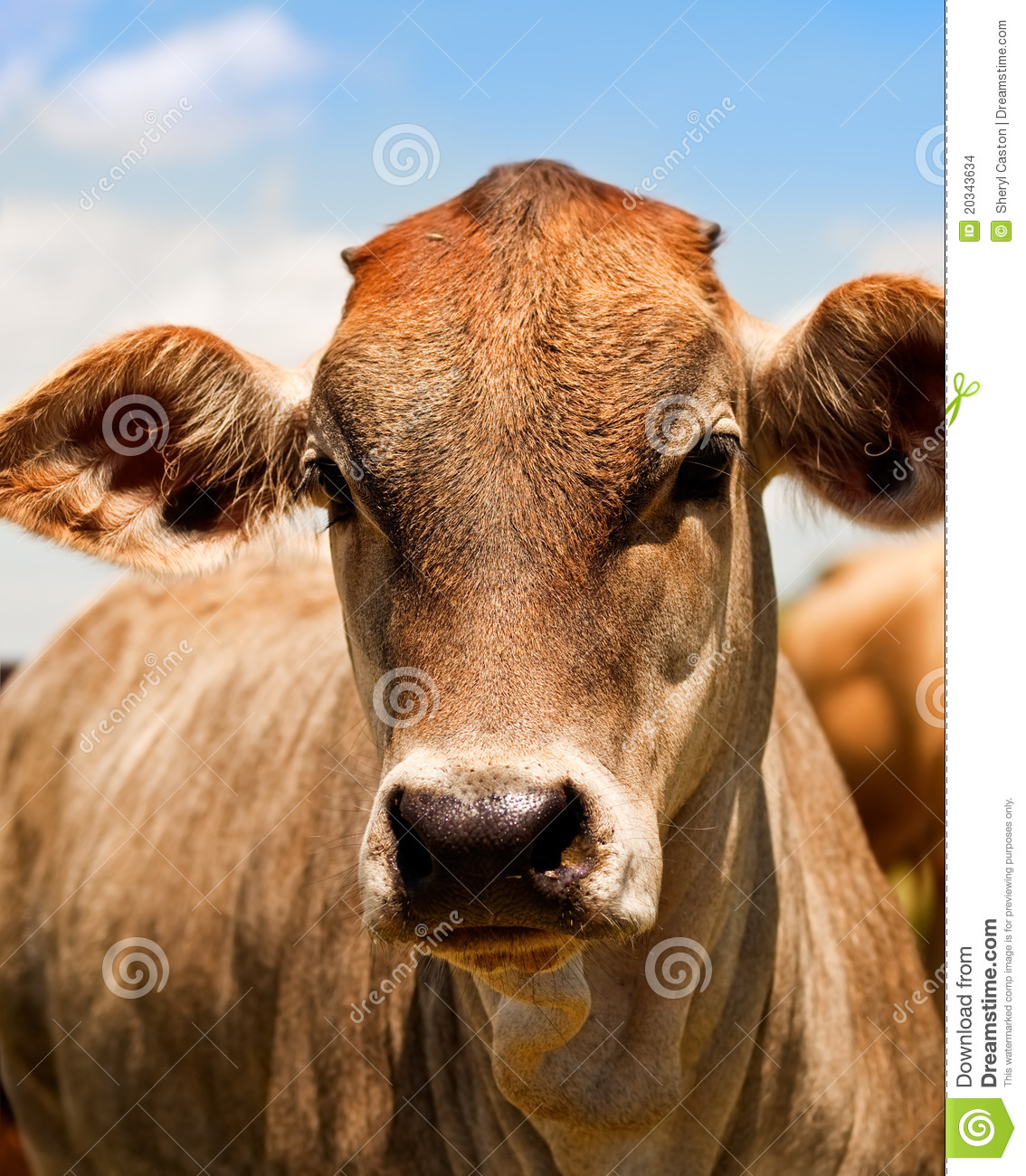 Facial growths on yearling cattle