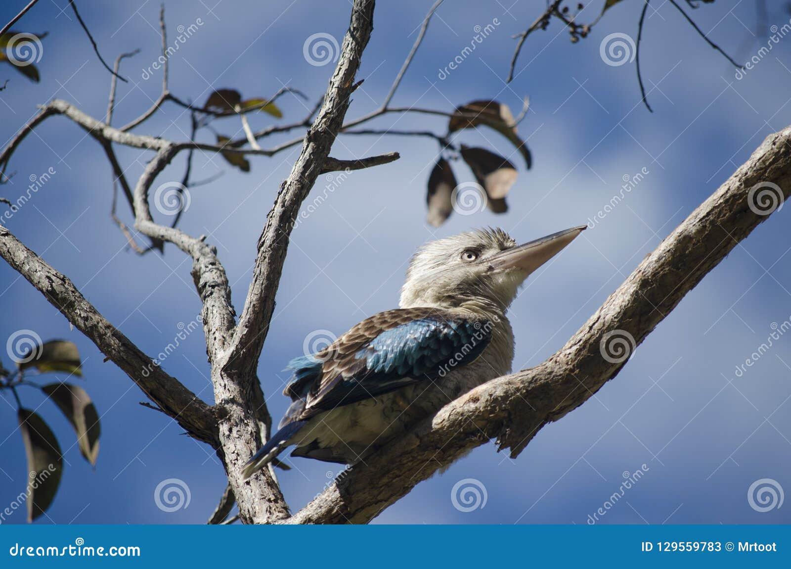 Australian Blue-winged Kookaburra