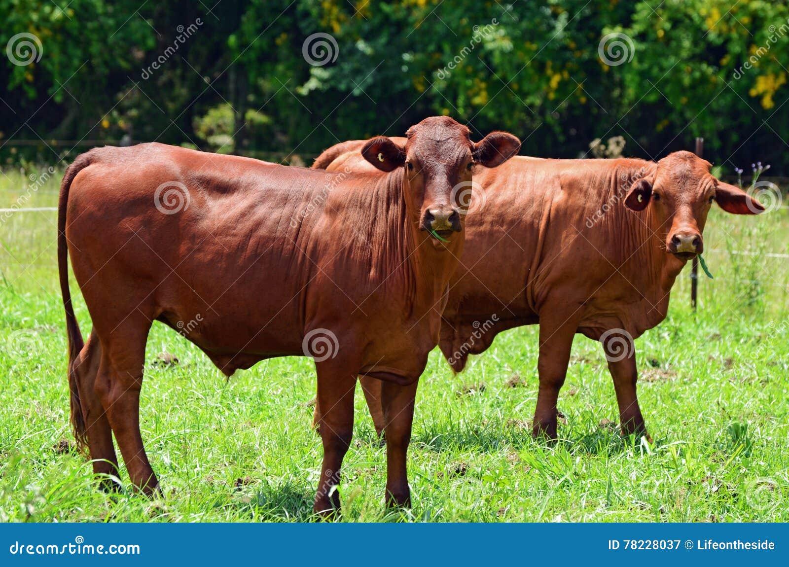 Australian bred Brangus beef bulls cattle