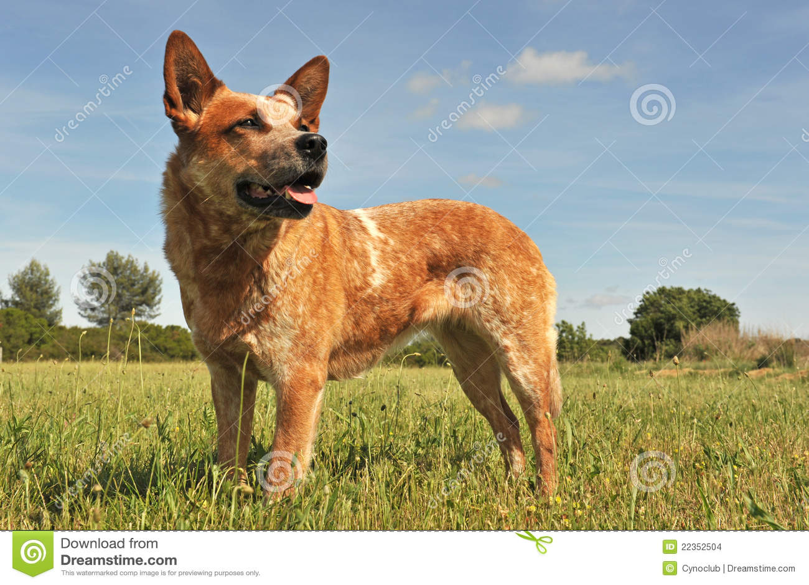 Australian Cattle Dog Stock Images - Image: 22352504