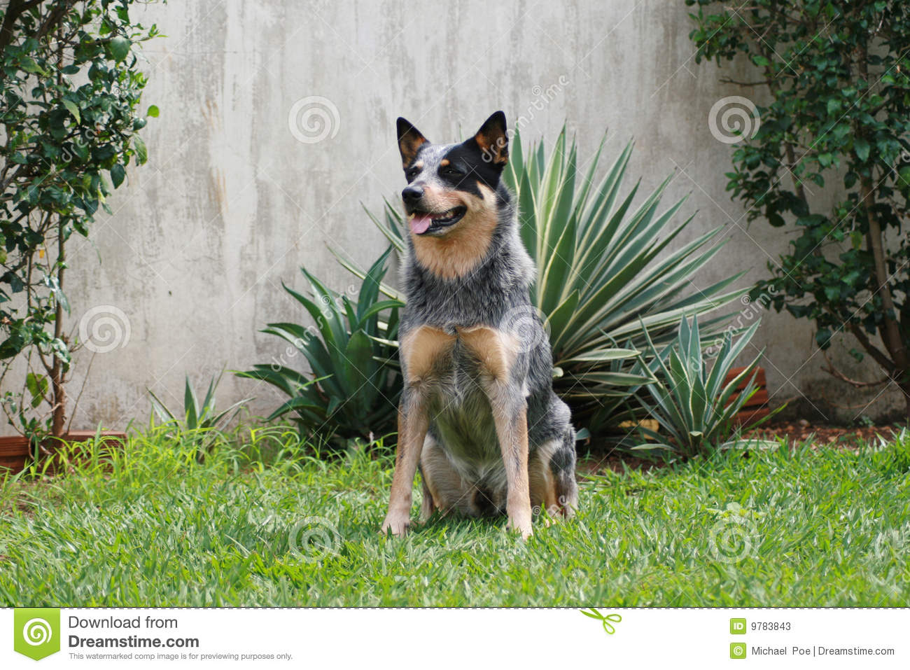 australian cattle dog blue heeler acd stock image image. Black Bedroom Furniture Sets. Home Design Ideas