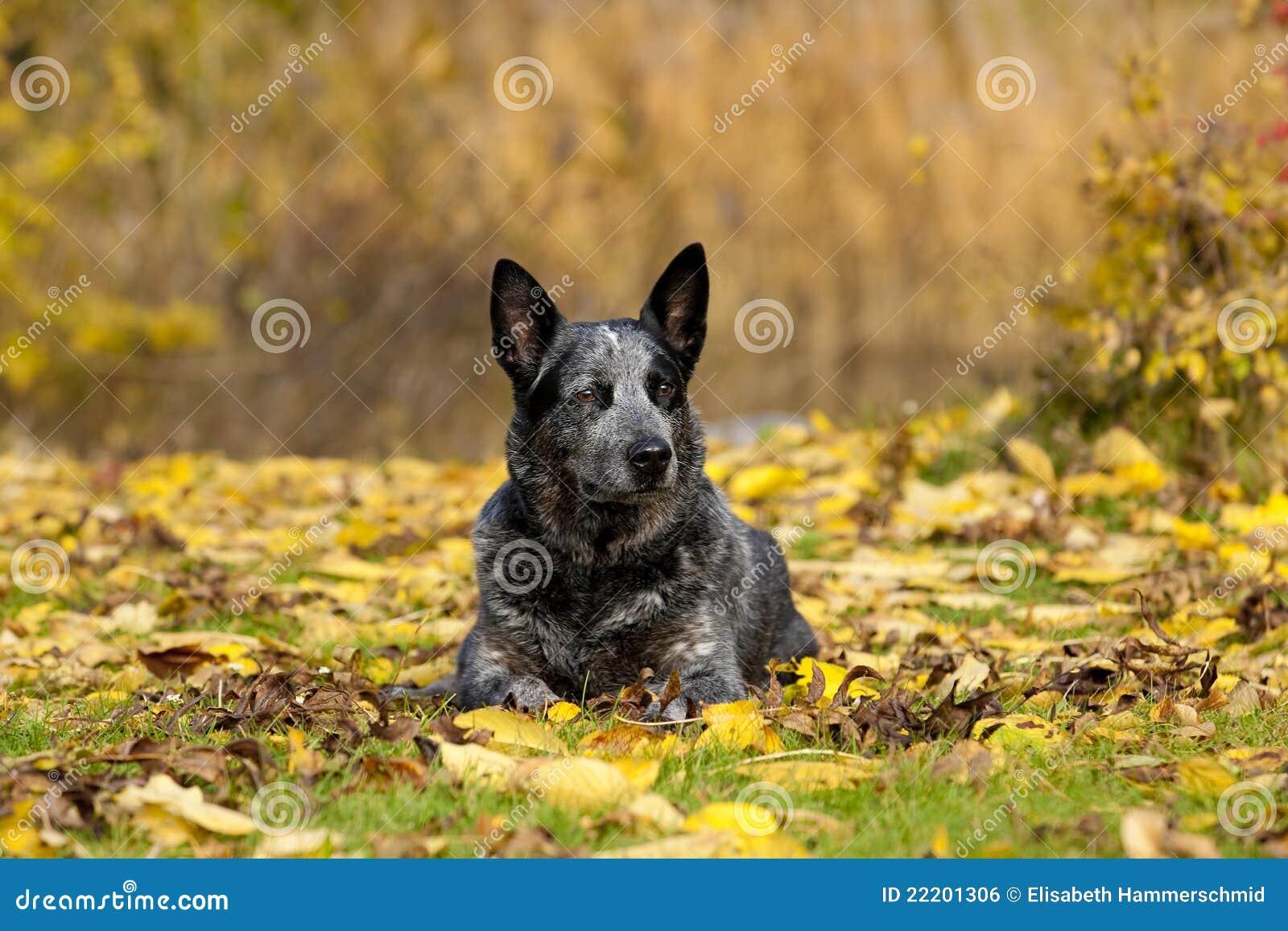 Australian Cattle Dog Male Portrait