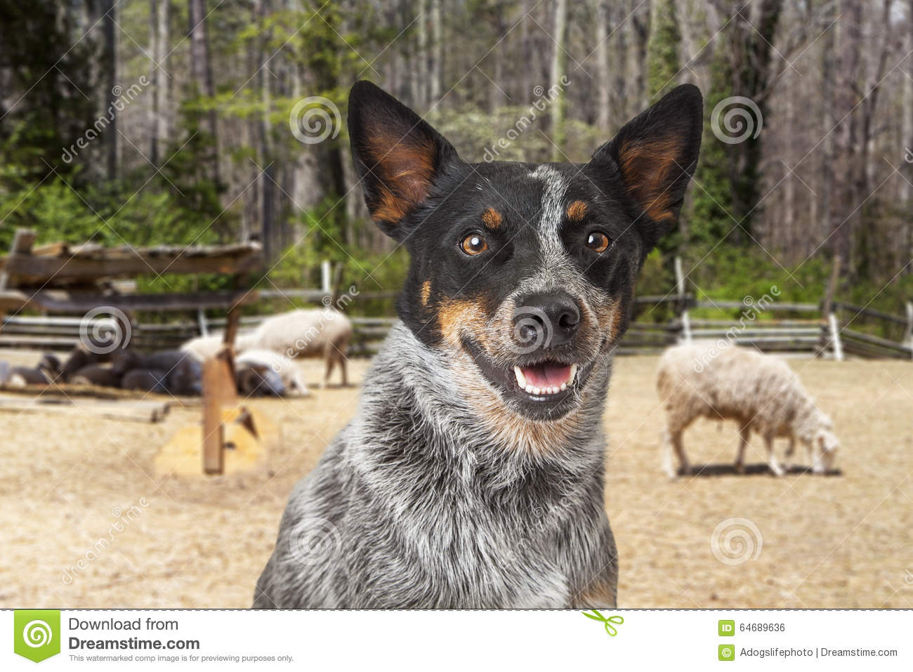 Australian Cattle Dog With Sheep in Background