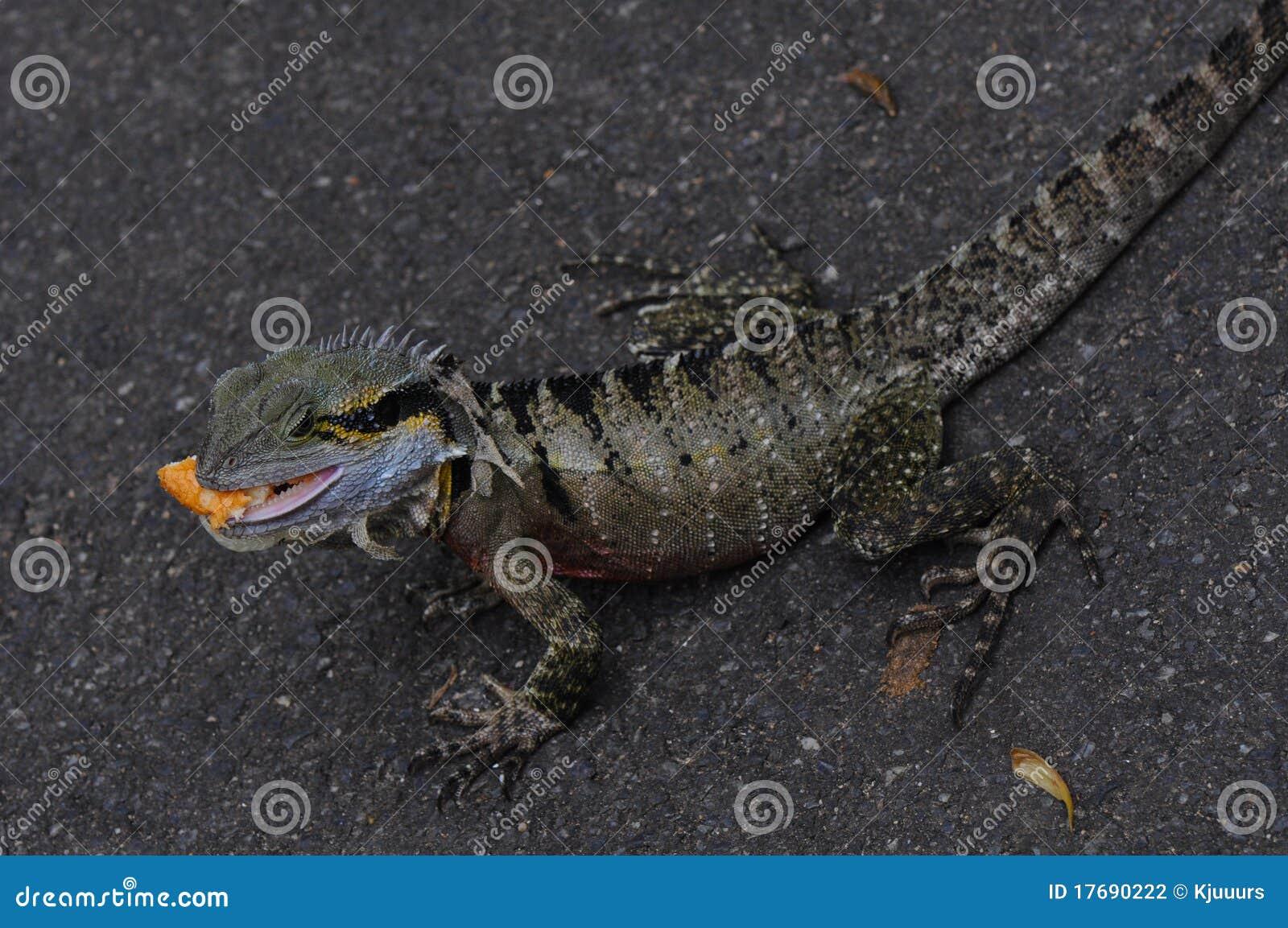 Australian Water Dragon Lizard: Australian Eastern Water Dragon (Lizard) Stock Photography