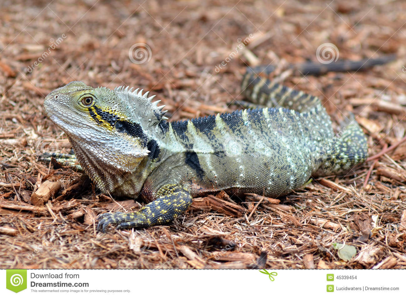 Photo A Black Soil Bearded Dragon That Was Recently Rehomed In Queensland After It