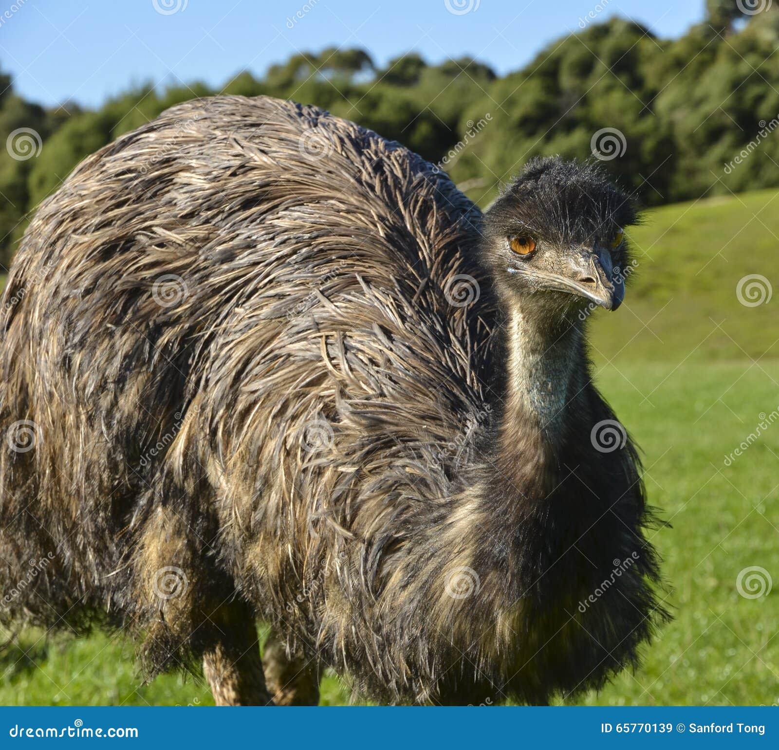 australian emu stock photo 65770139 megapixl