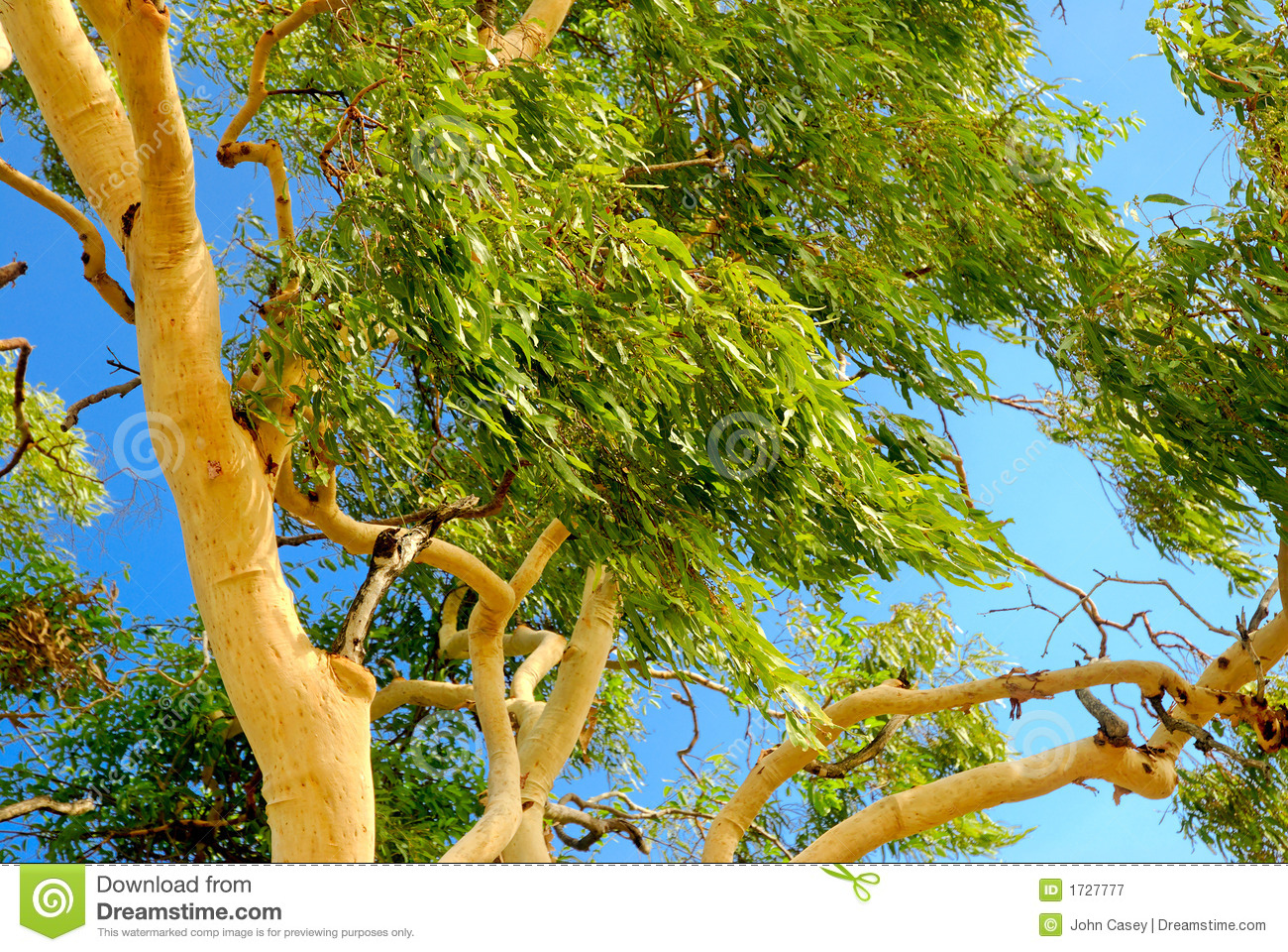 Australian Eucalyptus Tree Royalty Free Stock Photography