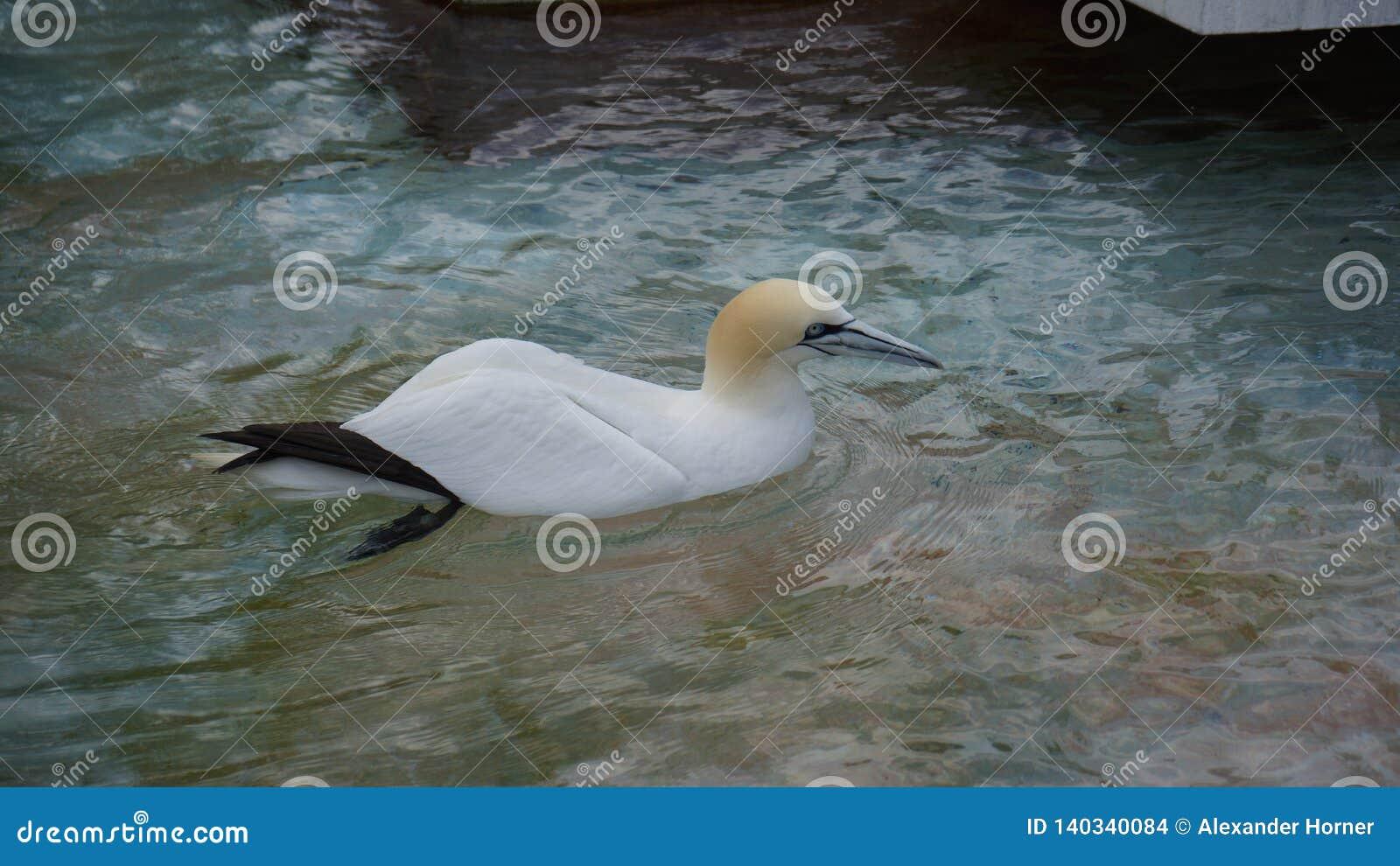 Australian gannet floating in Sea water