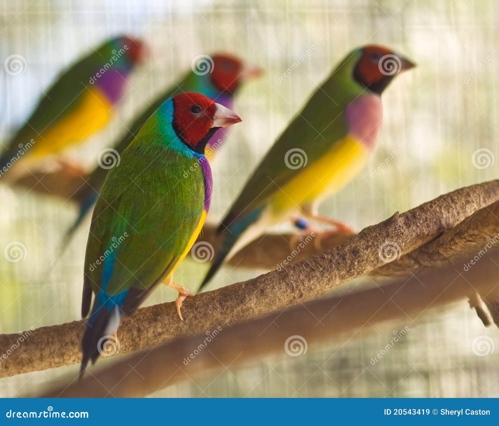 Australian gouldian finch native birds