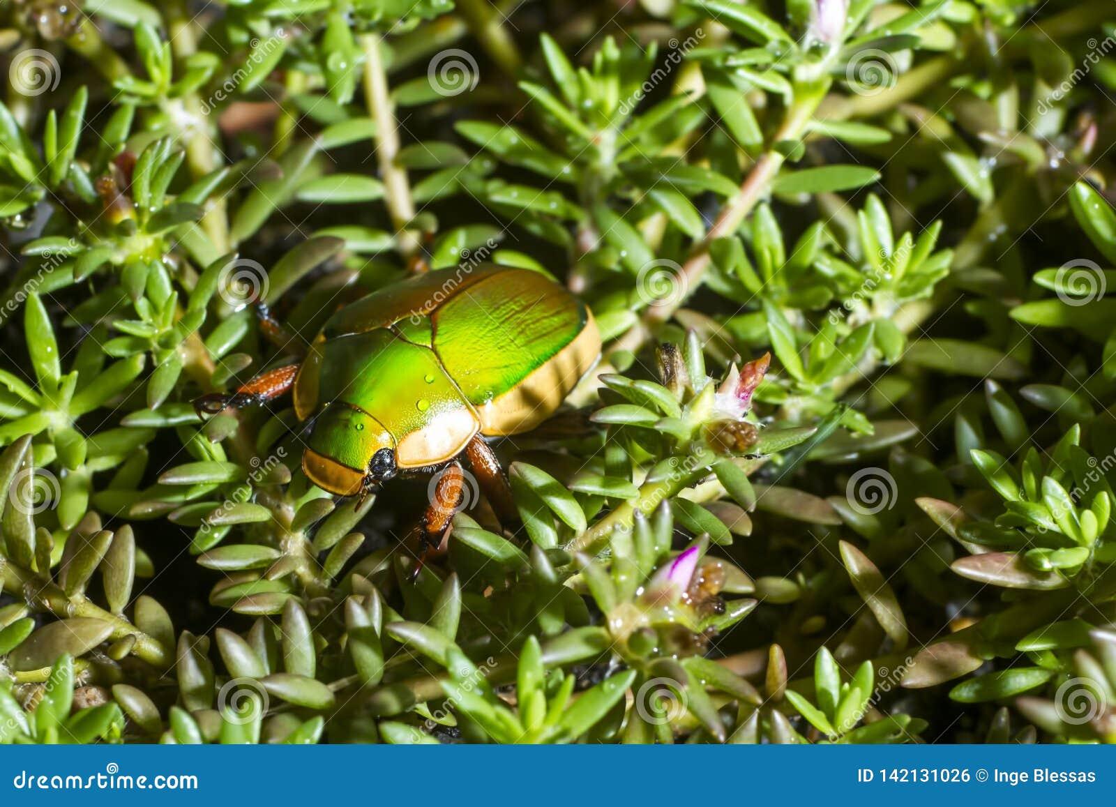 Christmas Beetle.Australian Green Christmas Beetle Stock Photo Image Of