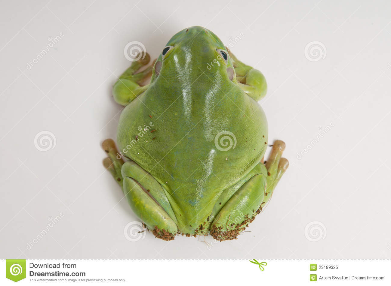 australian green tree frog from top stock image image of wood